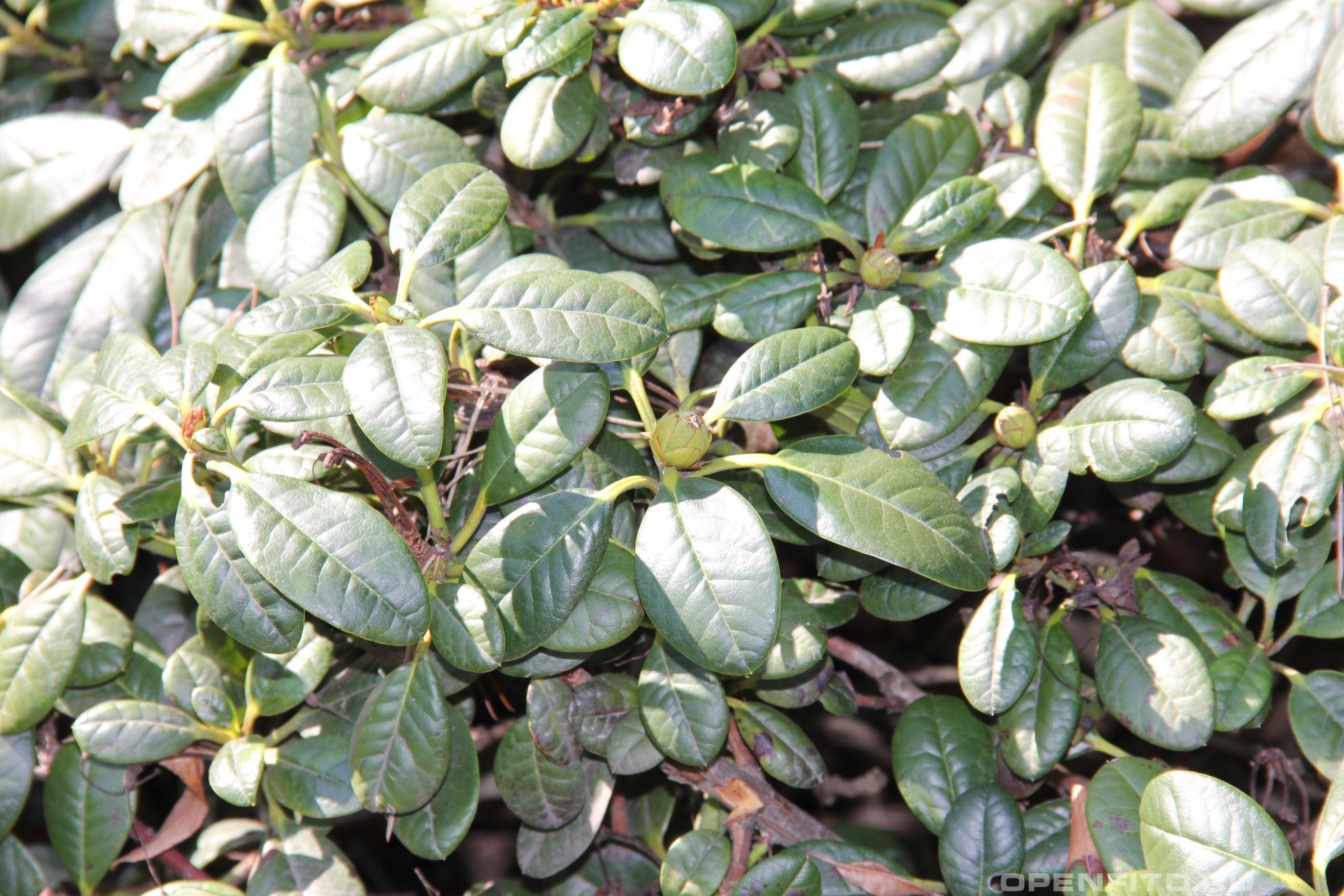 Рододендром Форреста бутоны и листья