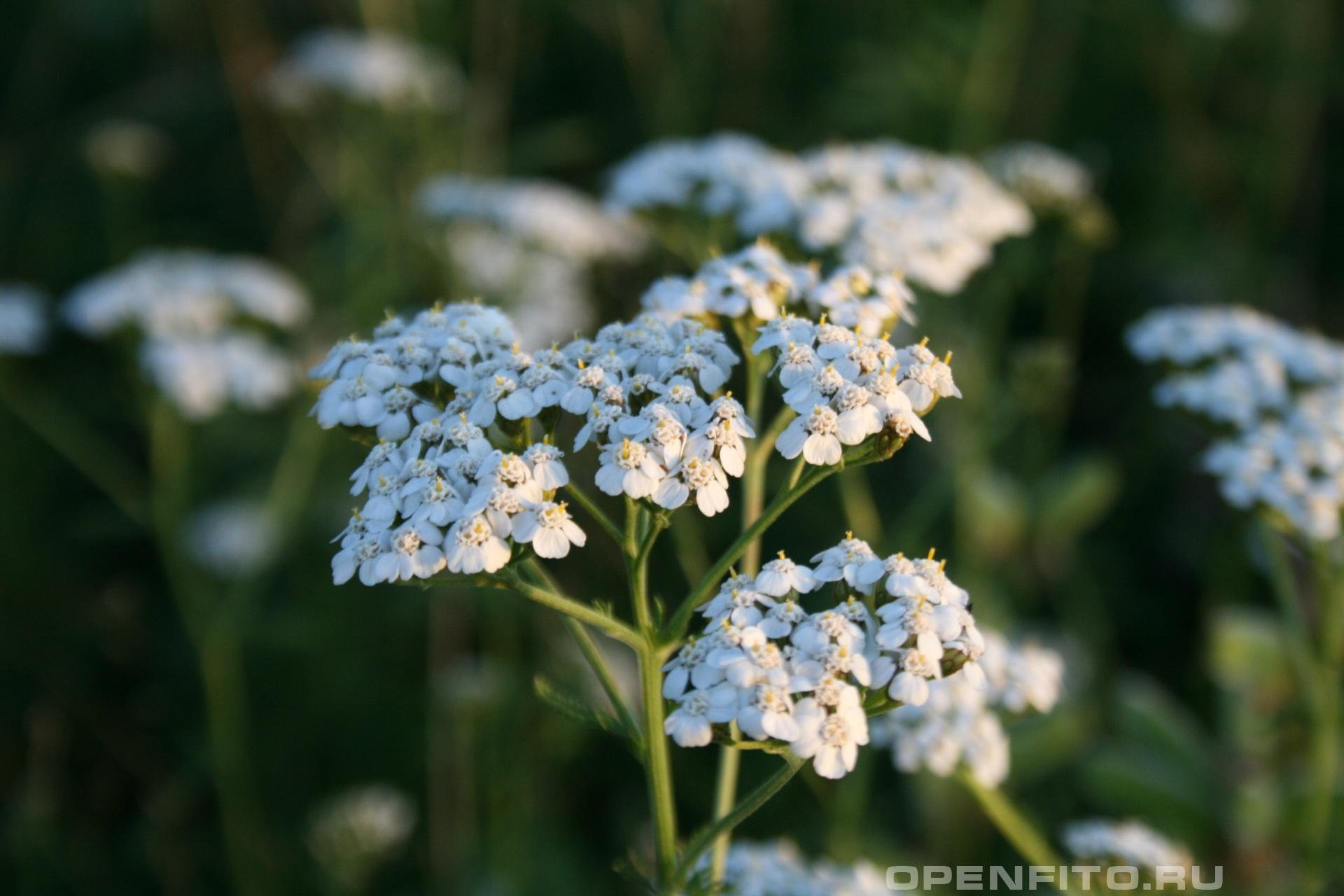 Тысячелистник обыкновенный <p>Во время цветения</p>
