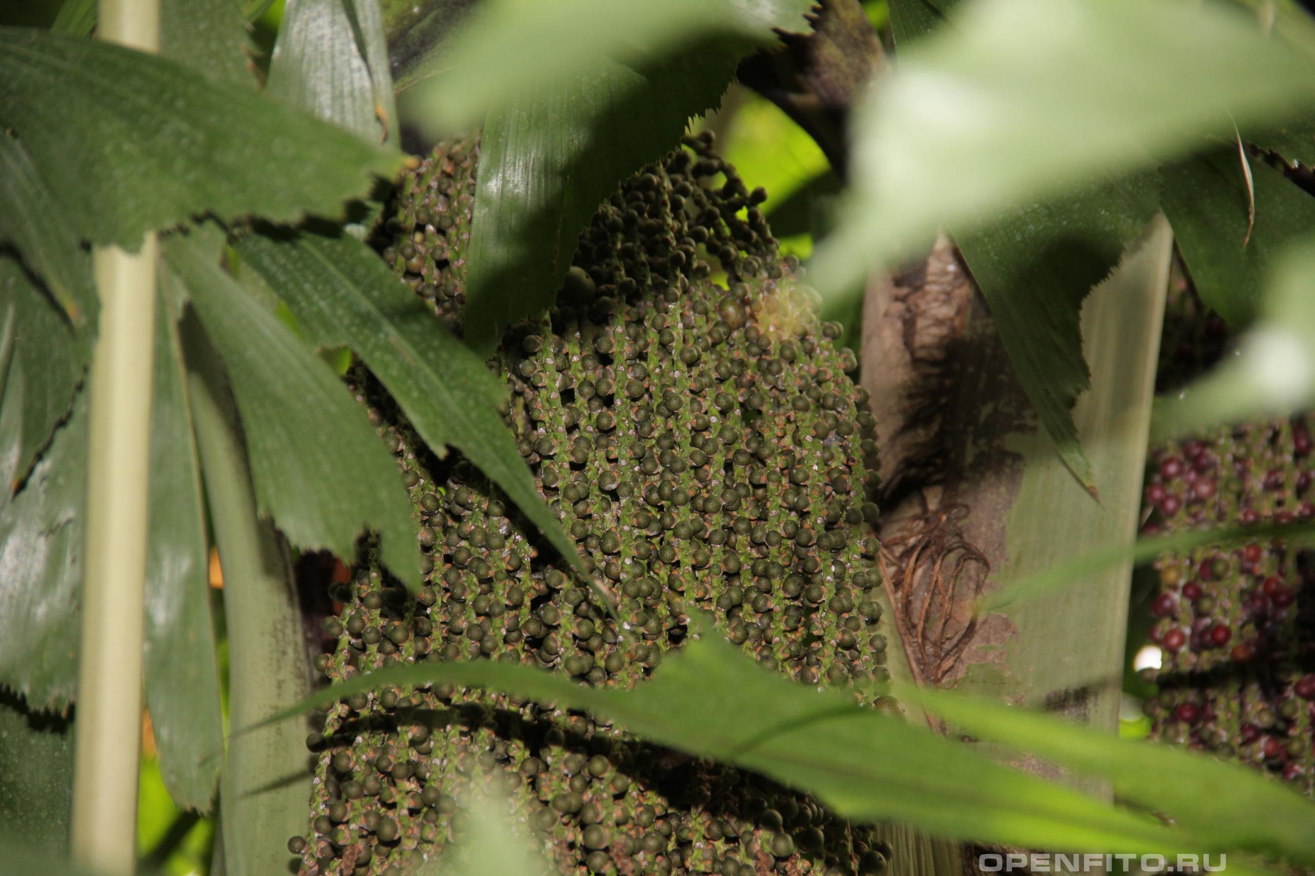 Кариота мягкая незрелые плоды, благодаря этим плодам растение получило народное название