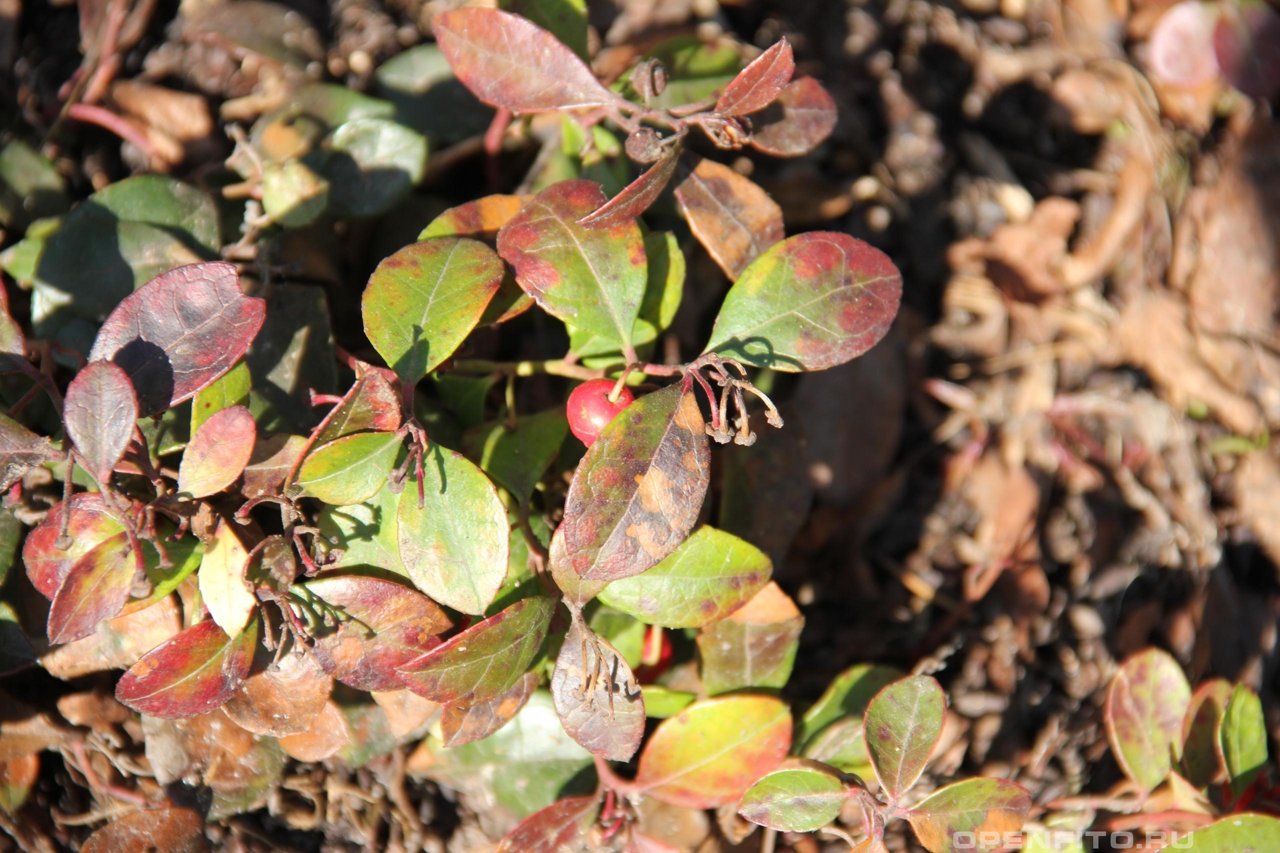 Гольтерия лежачая растение после зимы