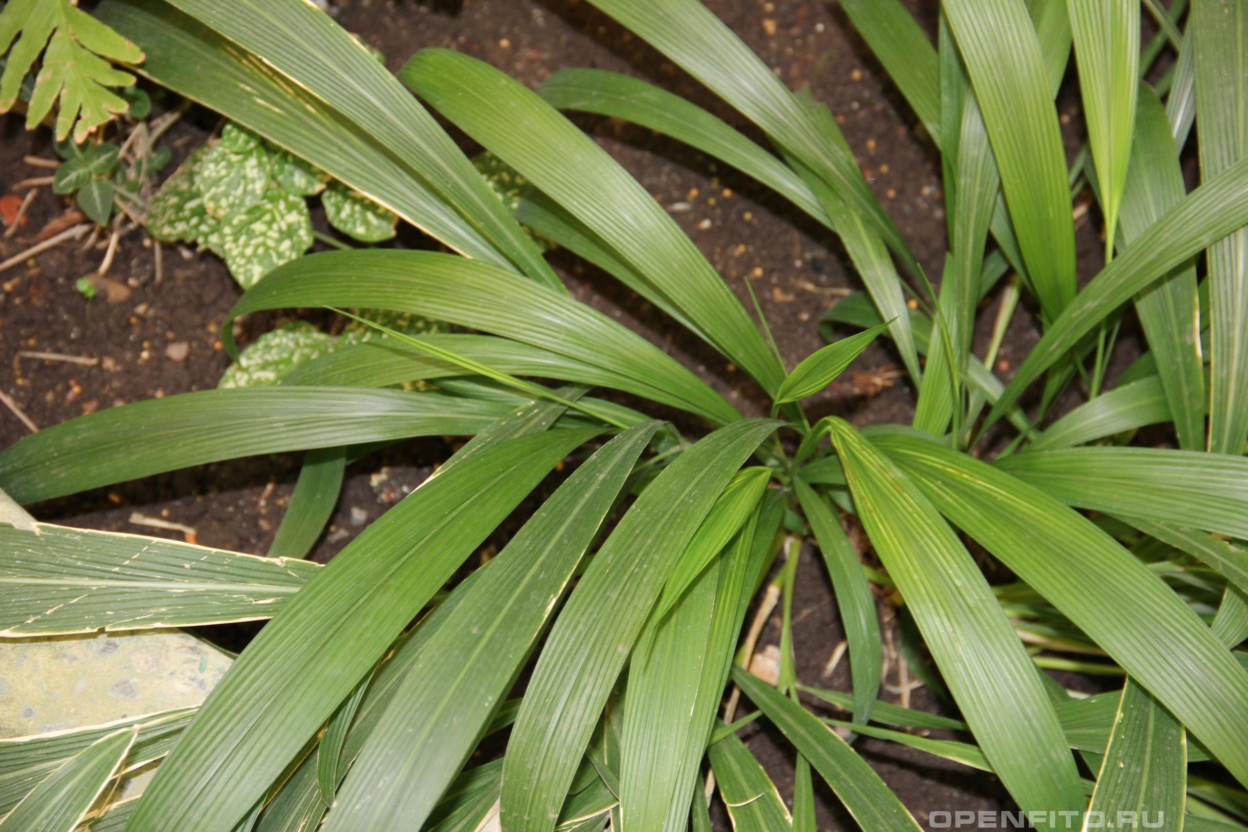 Щетинник пальмолистный листья