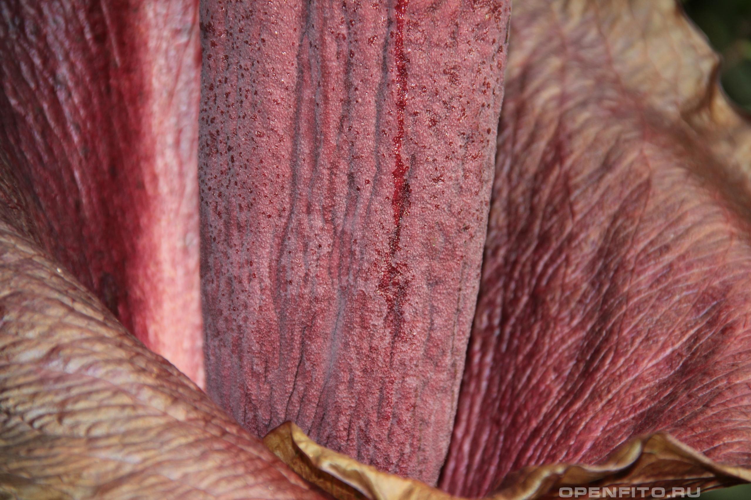Аморфофаллус коньяк структура лепестка