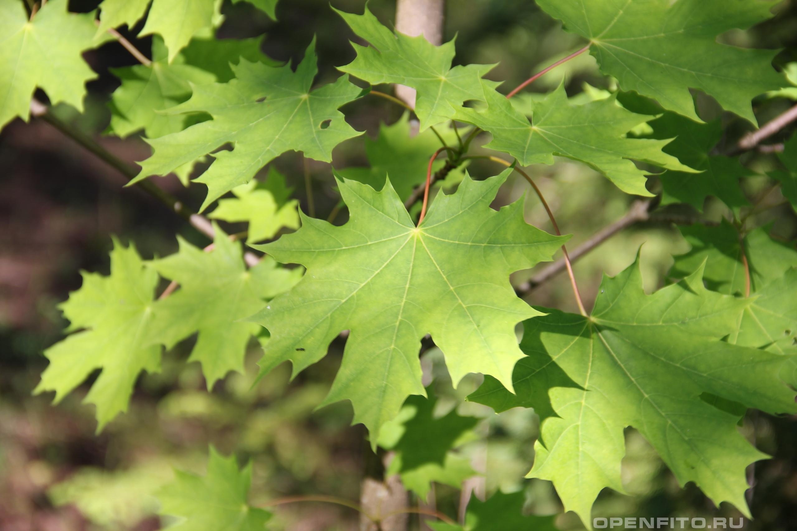 Клён остролистный листья