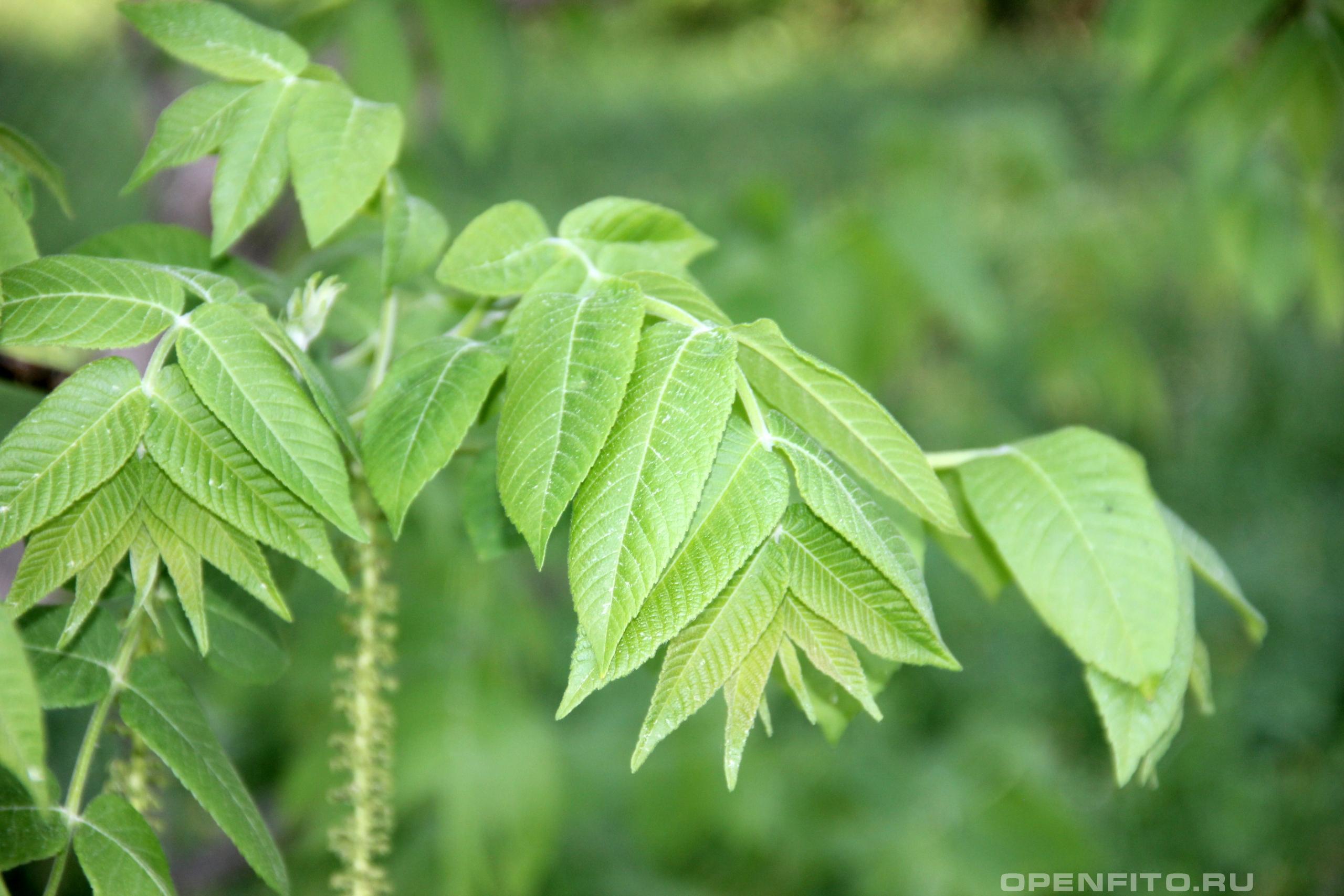 Орех маньчжурский  молодой лист