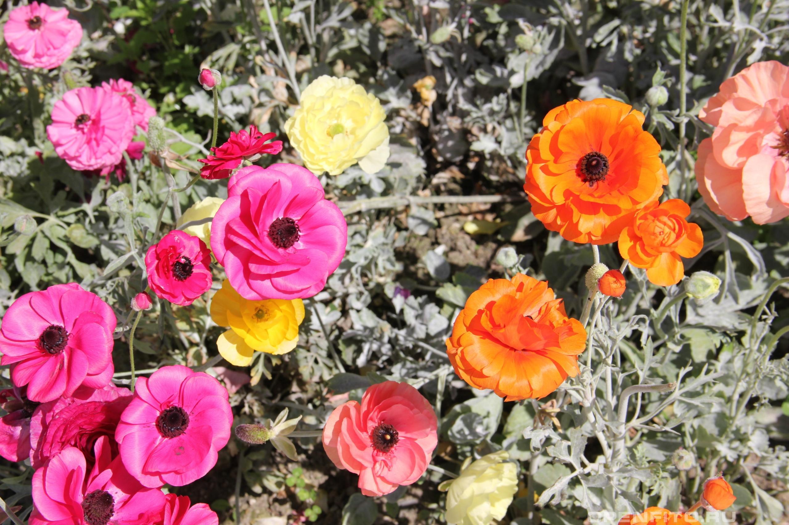 Лютик азиатский разные расцветки сортовых растений