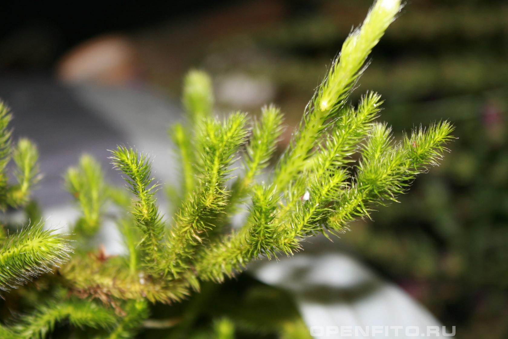 Плаун обыкновенный <p>Ядовитое лекарственное растение</p>