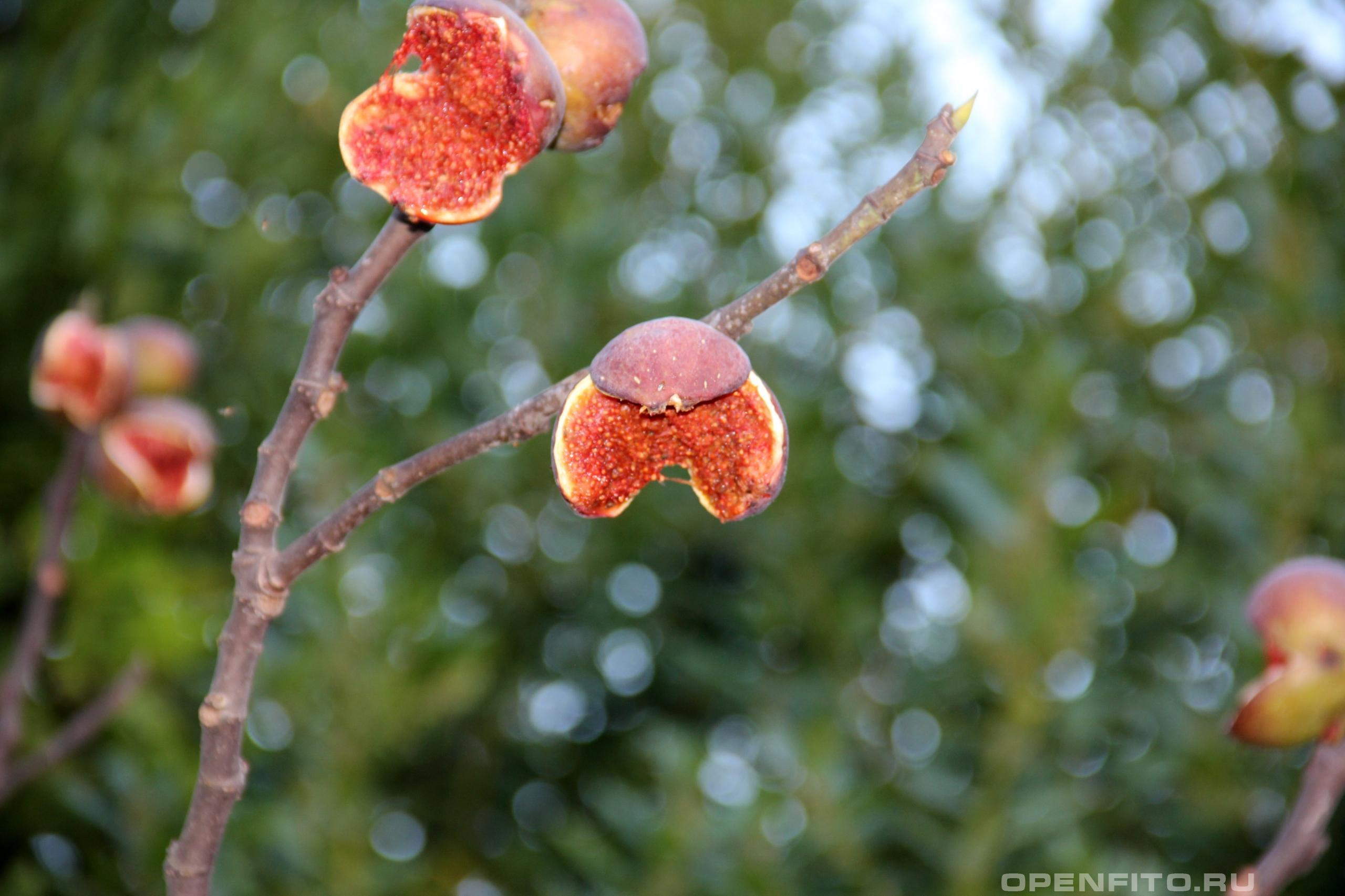 Фикус колхидский переспелые плоды