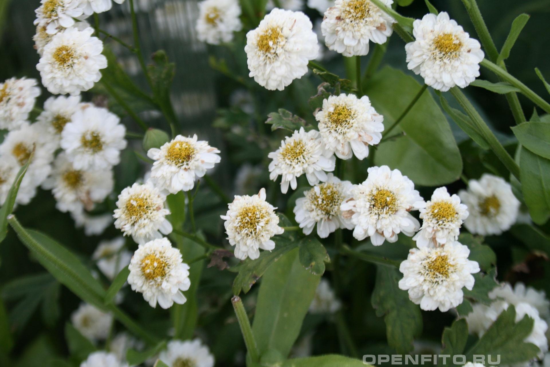Пиретрум <p>Душистое садовое растение</p>