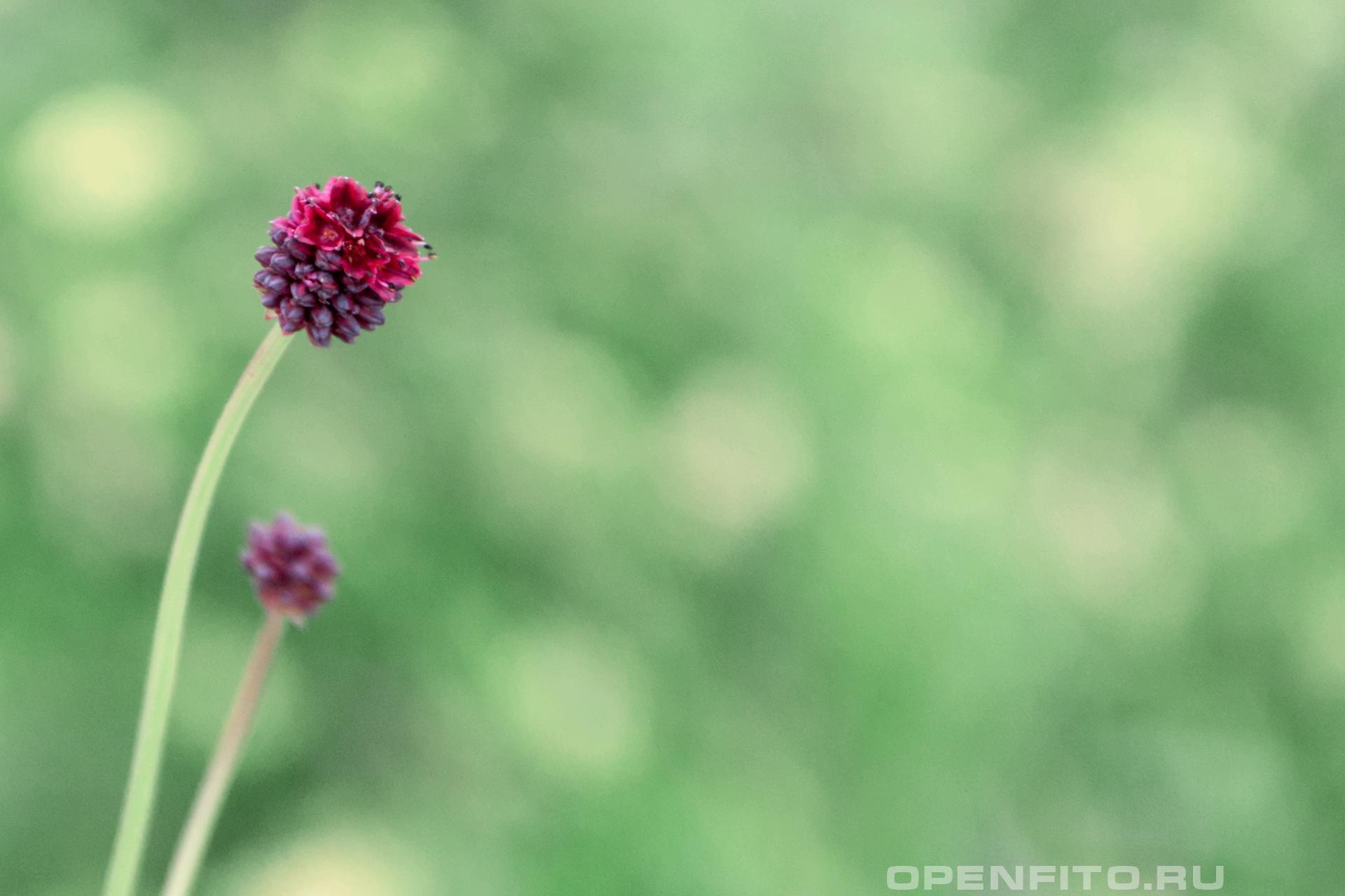 Кровохлебка лекарственная Лекарственное растение с необычным названием