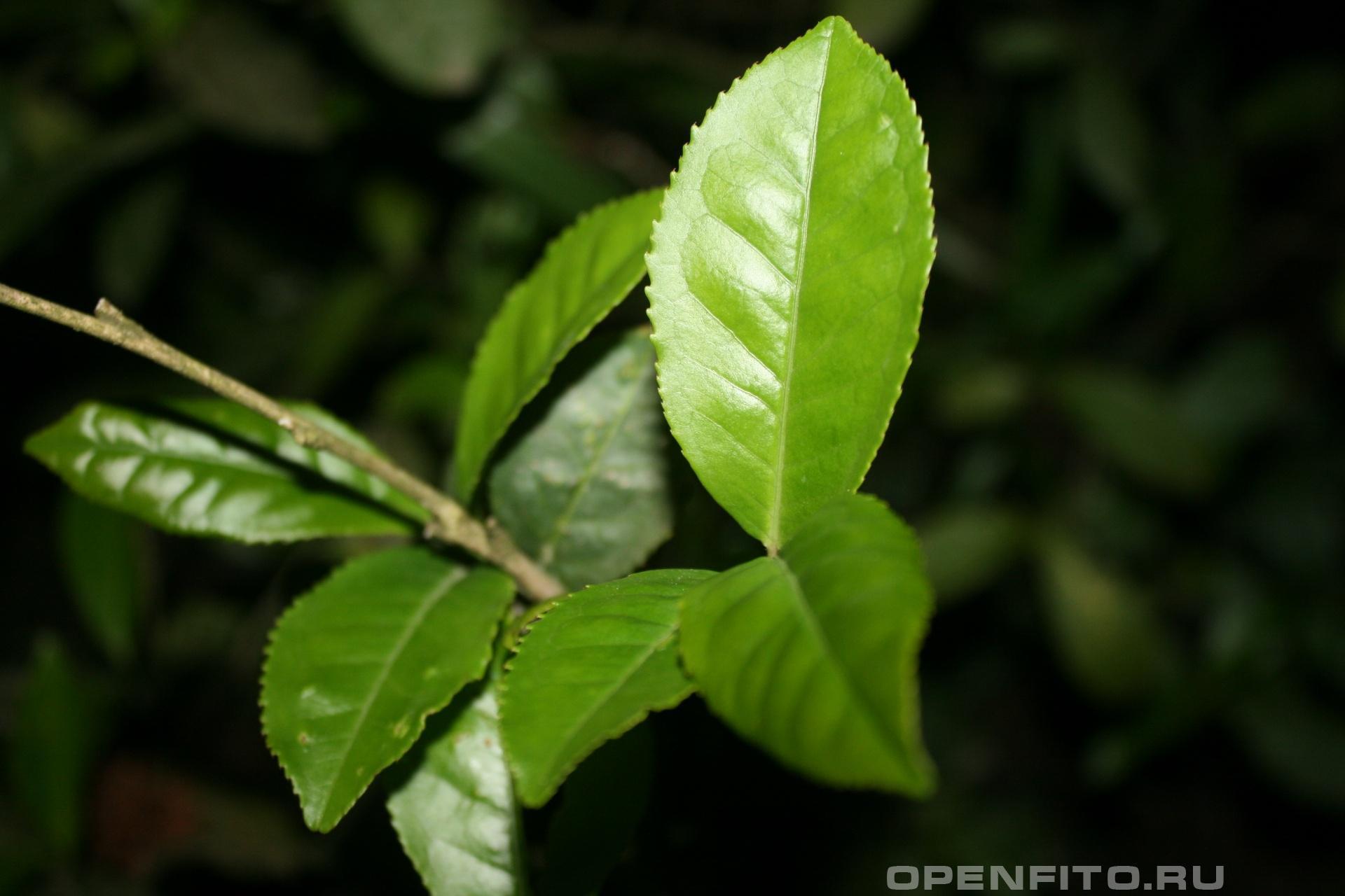 Камелия китайская Листья китайского чая