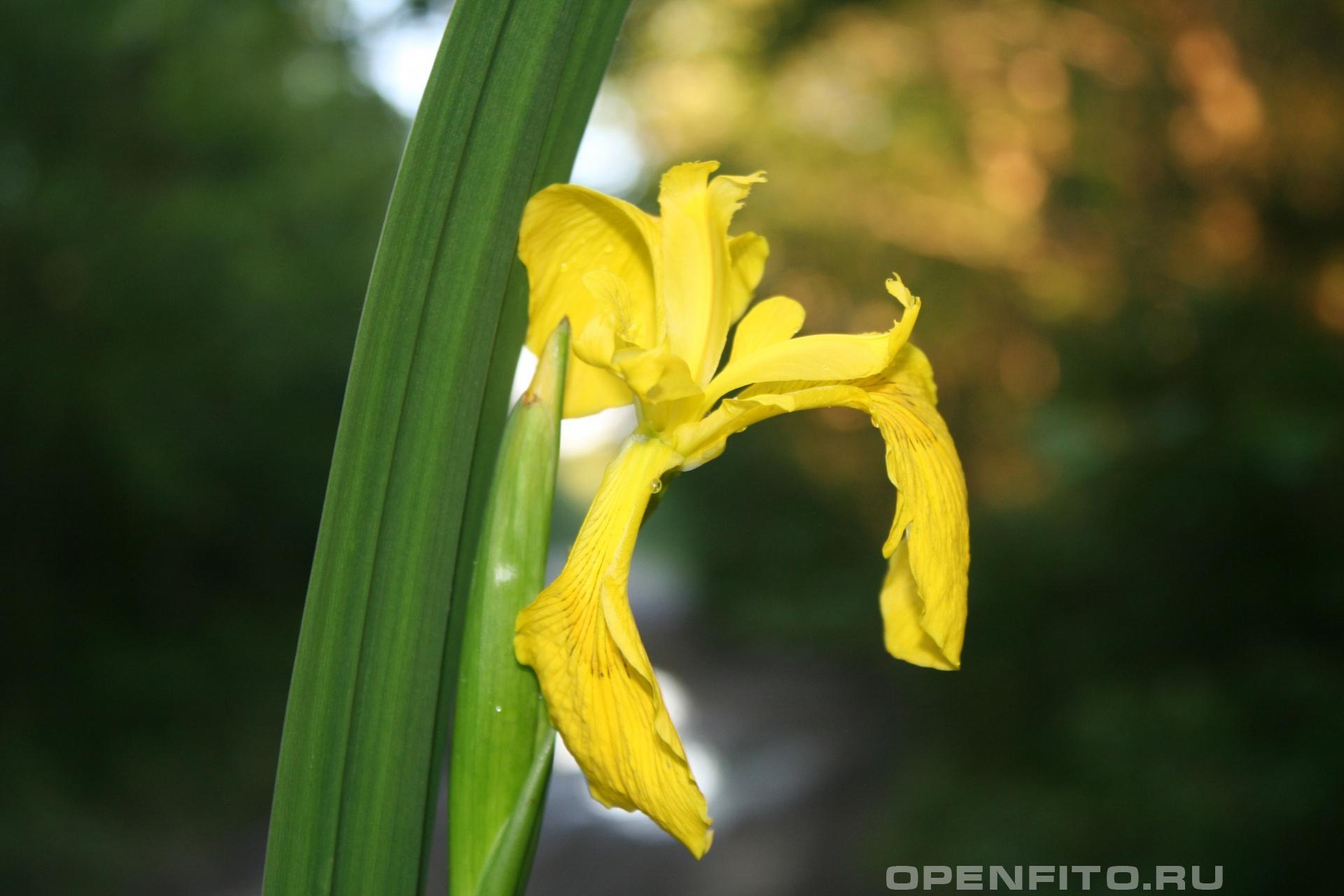 Ирис болотный <p>лекарственное болотное растение</p>