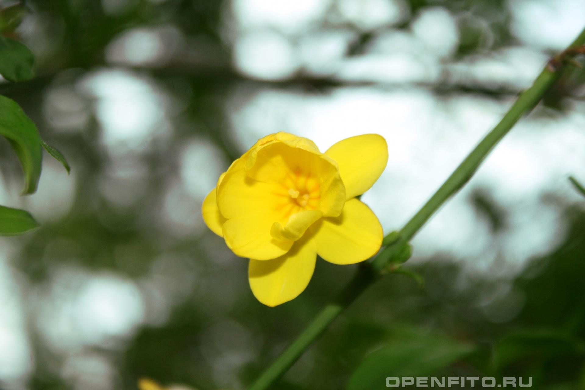 Жасмин месни желтый жасмин названный в честь биолога открывшего его