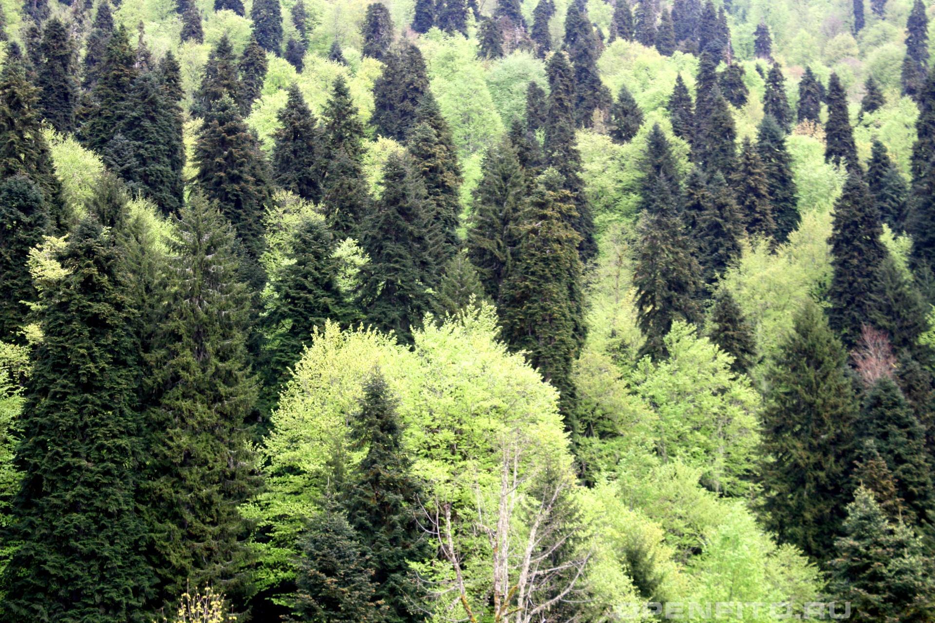 Смешанный лес Рицинский заповедник