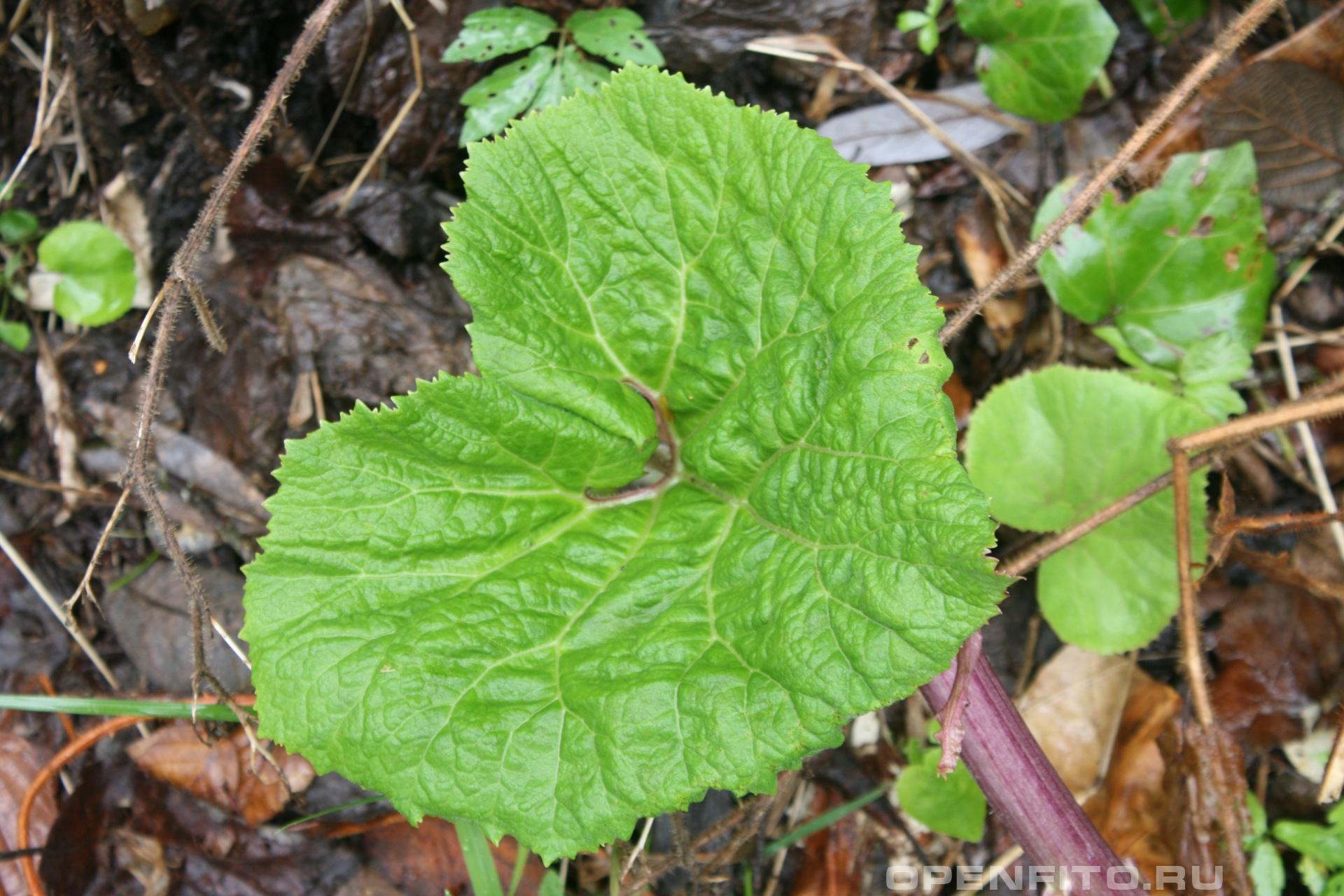 Белокопытник молодой лист