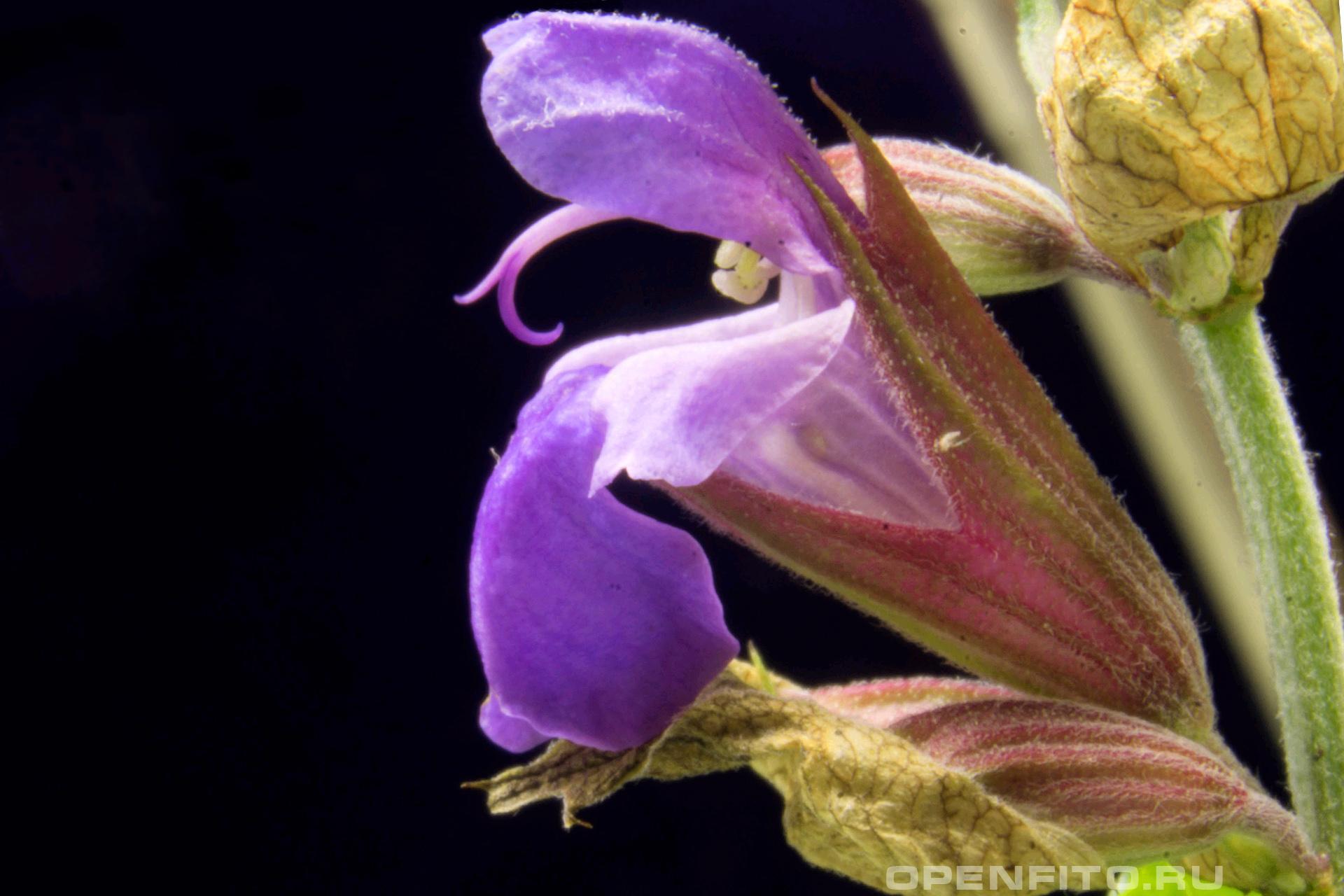 Шалфей цветок шалфея лекарственного