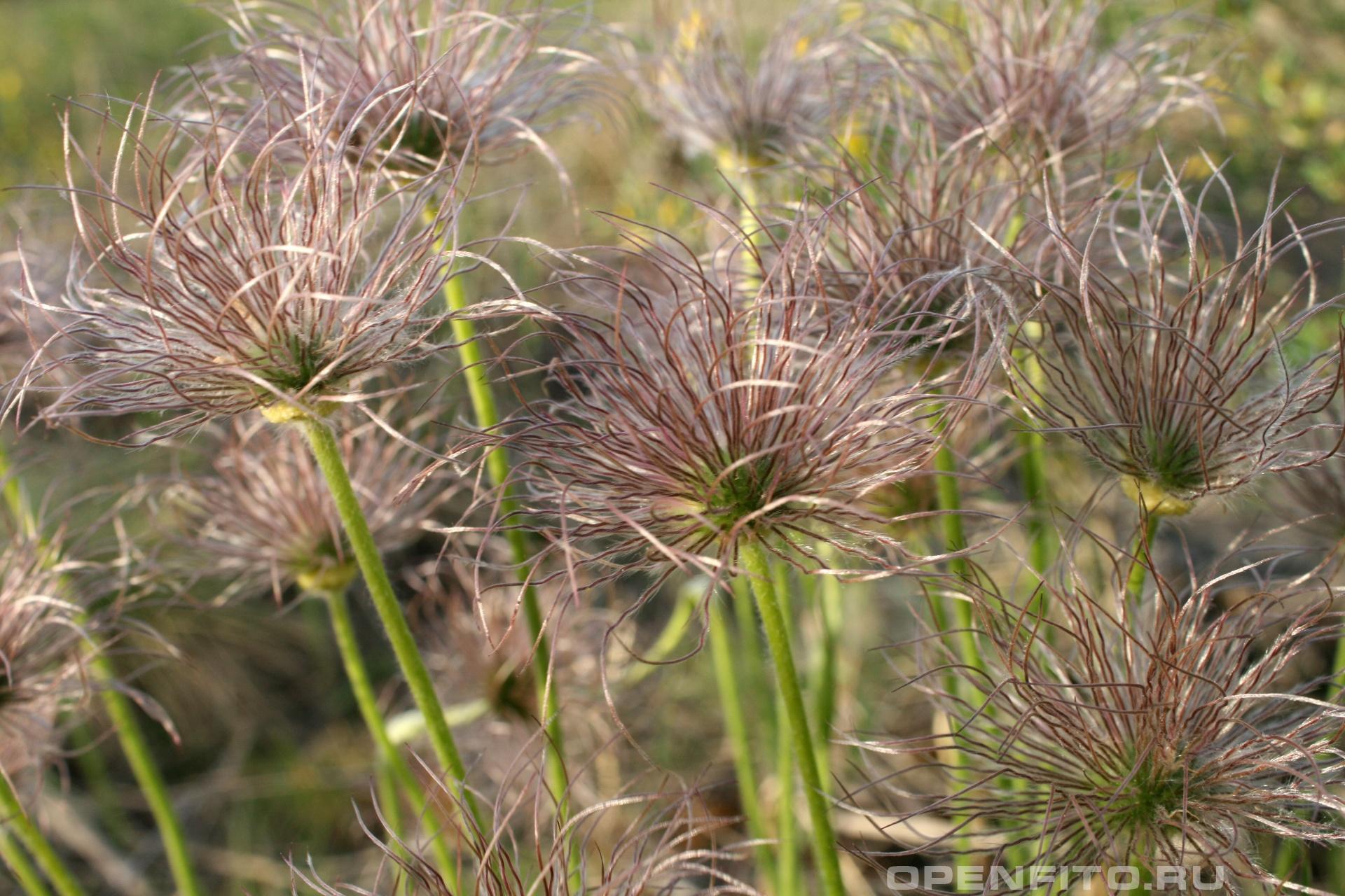 Прострел Семена травы