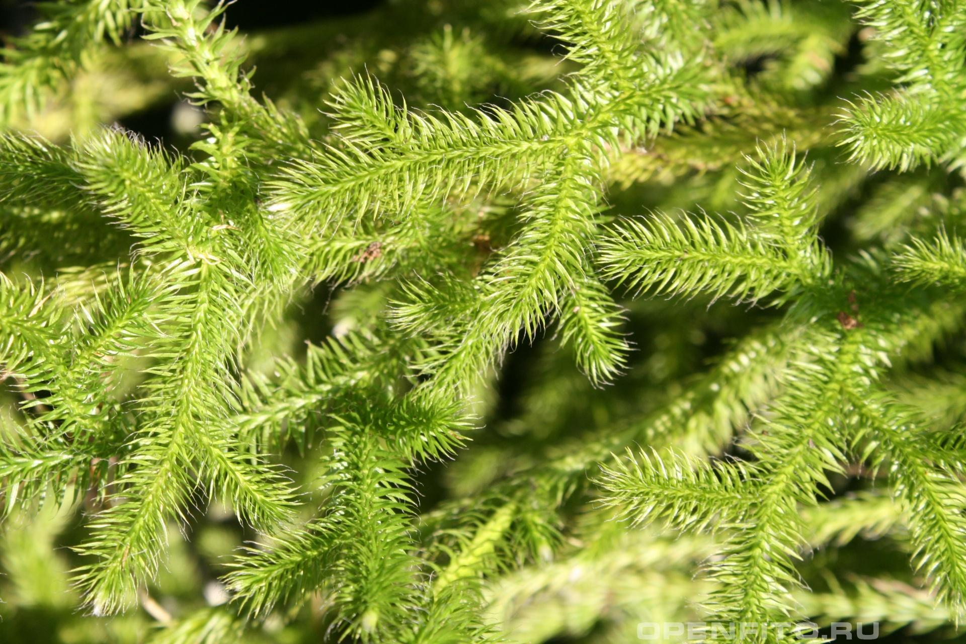 Плаун <p>веточки вечнозеленого растения крупным планом</p>