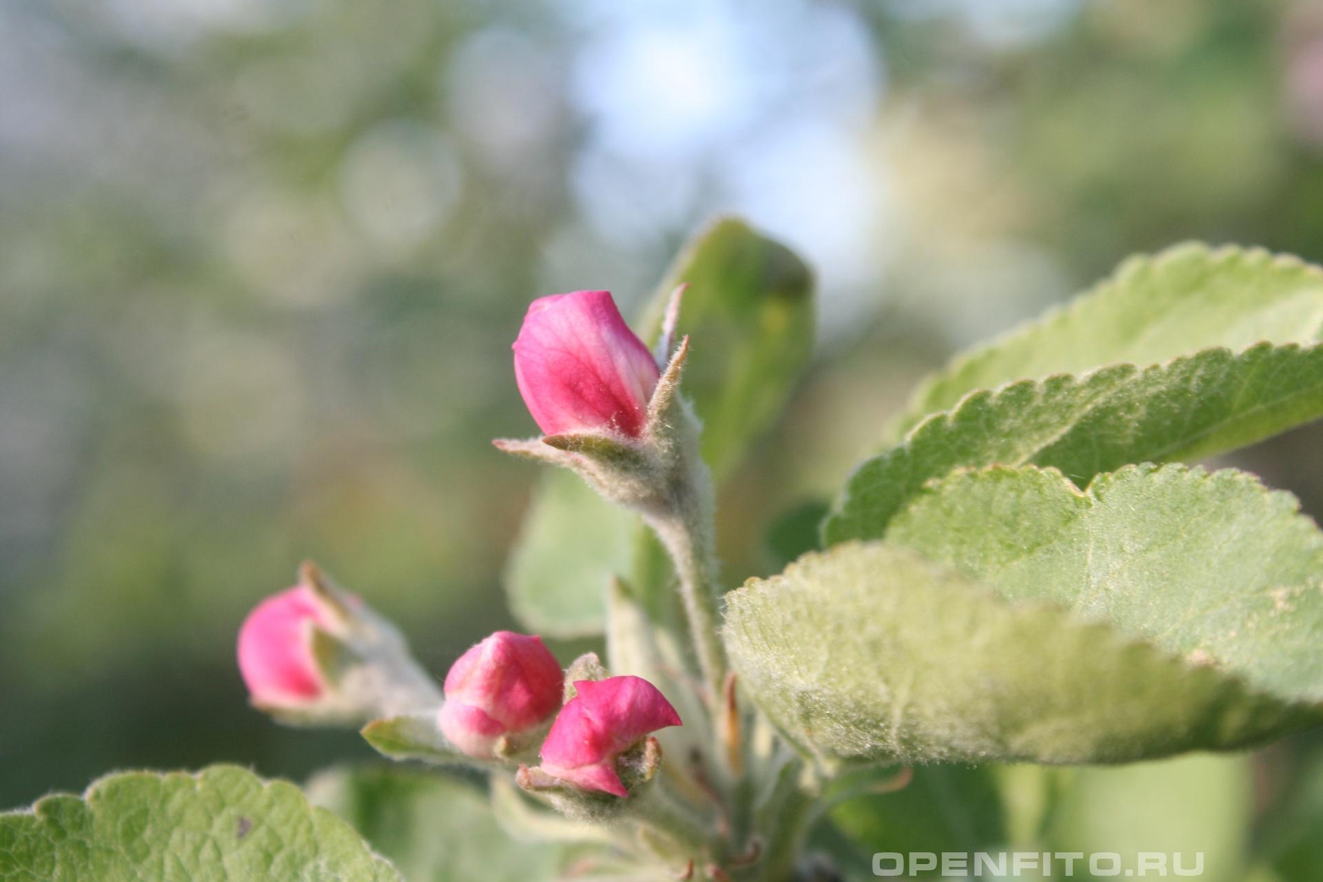 Яблоня розовые бутоны  яблони