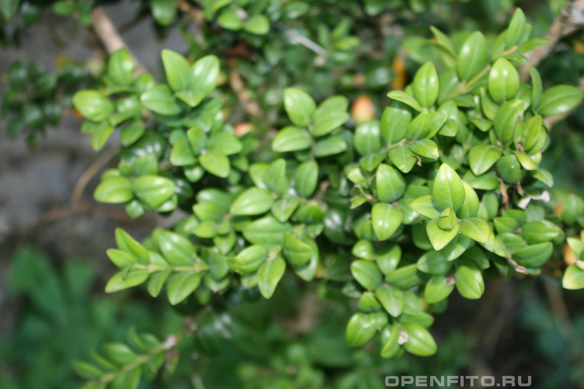 Самшит Реликтовое растение, единственное дерево которое тонет в воде