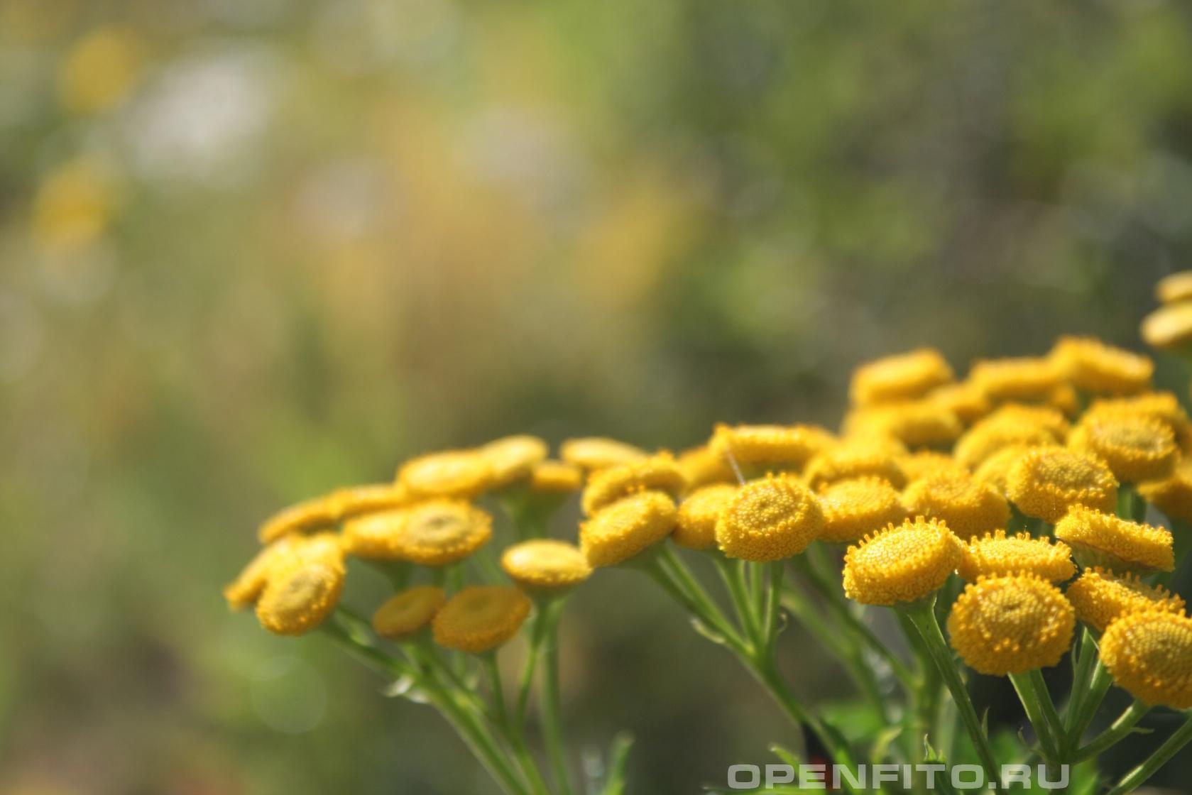 Пижма обыкновенная <p>душистые цветки травы крупным планом</p>