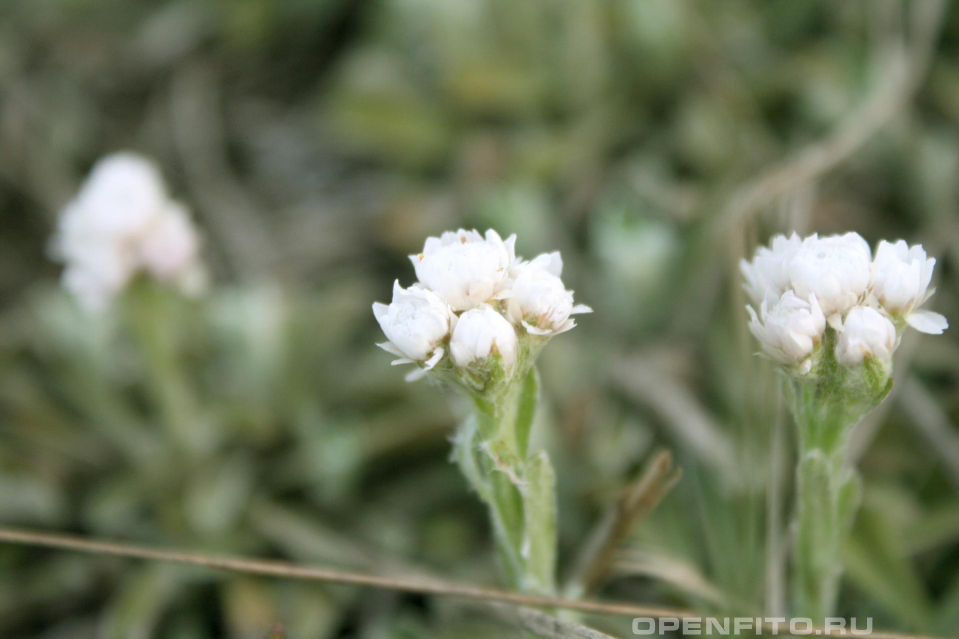 Кошачья лапка Растение с оригинальным названием