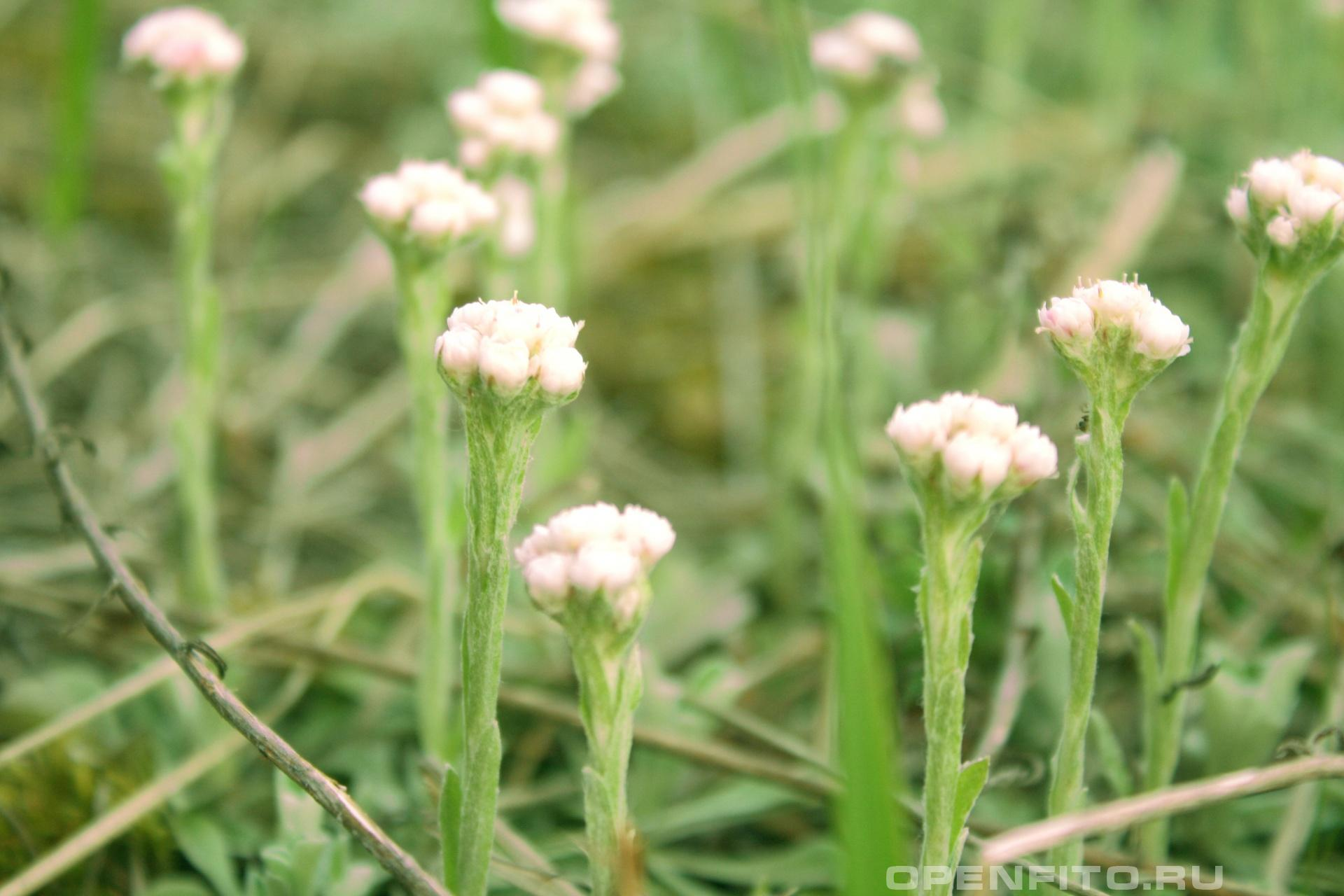 Кошачья лапка Очень полезная трава