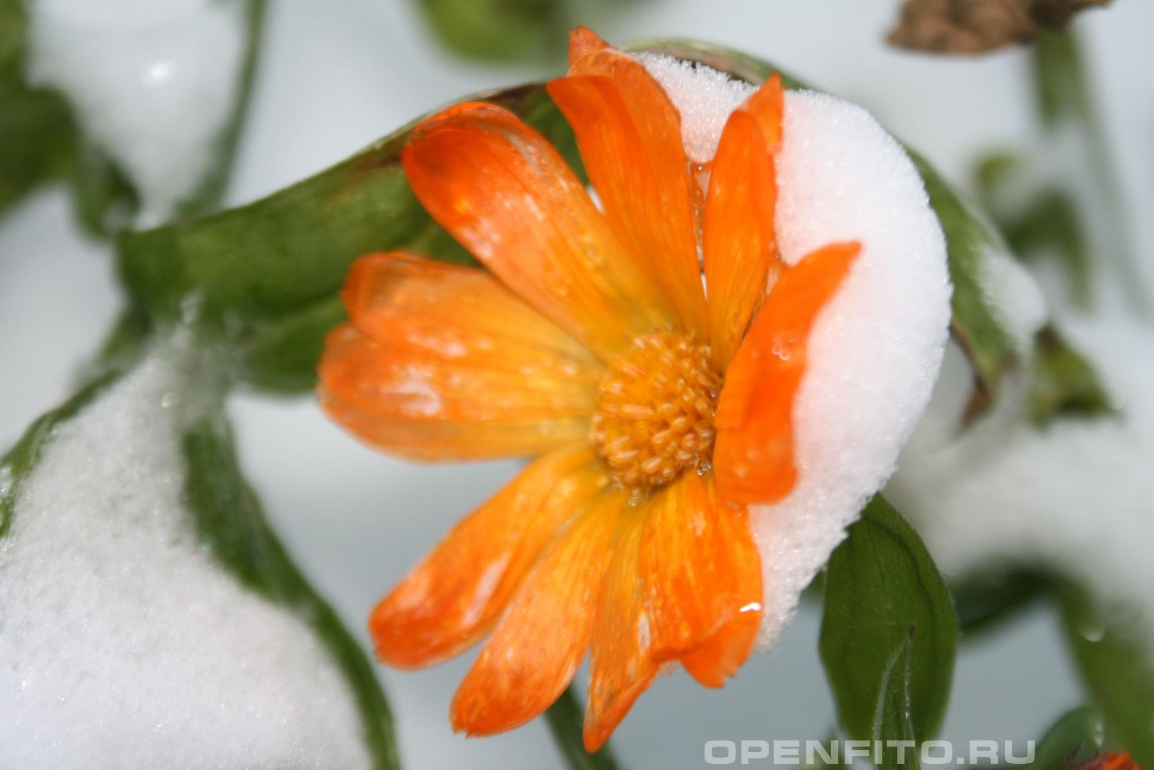 Календула лекарственная <p>Лекарственное растение цветет до заморозков</p>