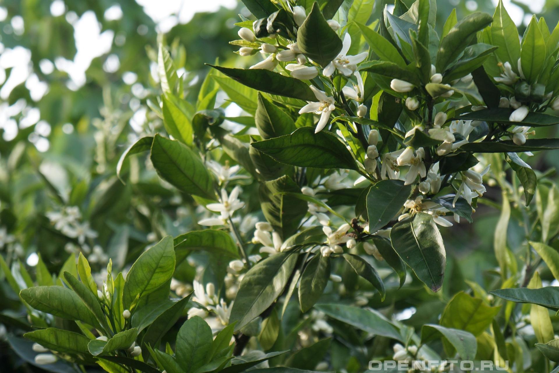 Мандариновое дерево в апреле