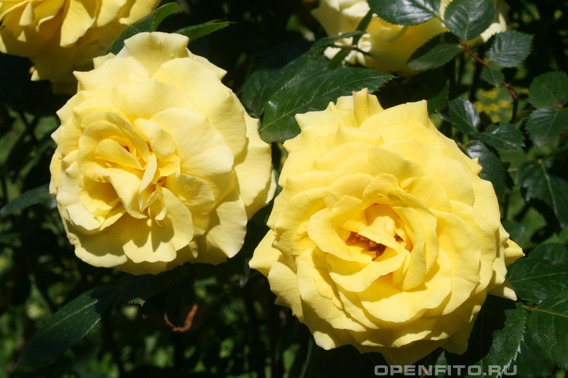 Роза желтая садовая роза