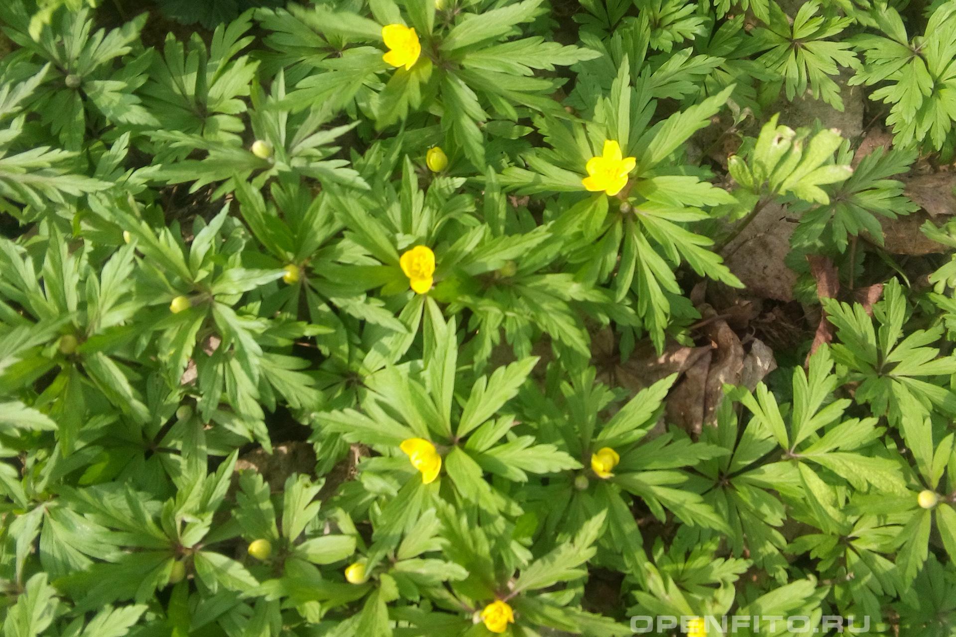 Ветреница лютичная Тоже самое что и обычная ветреница только с желтыми цветами