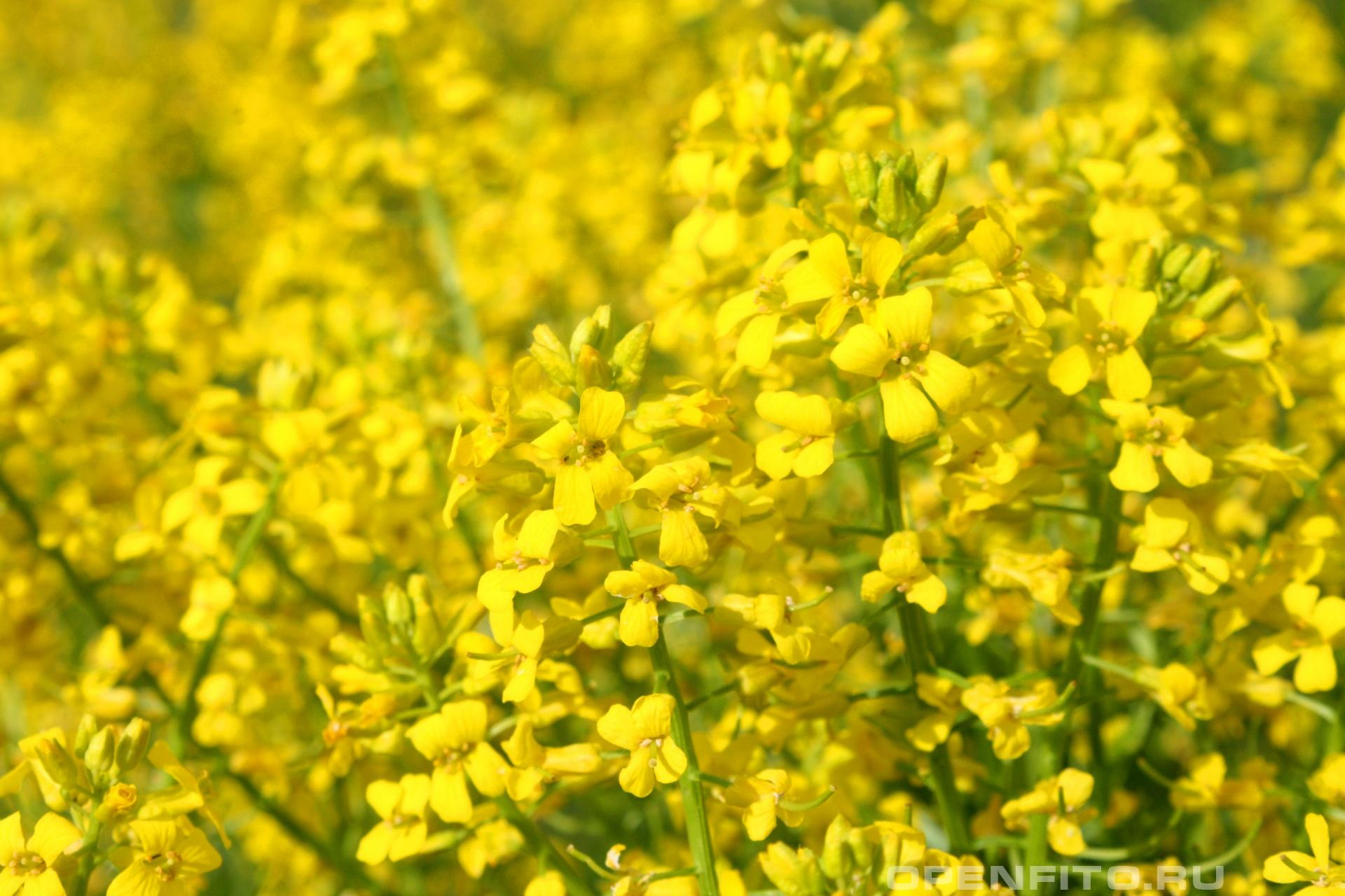 Сурепка майские цветы