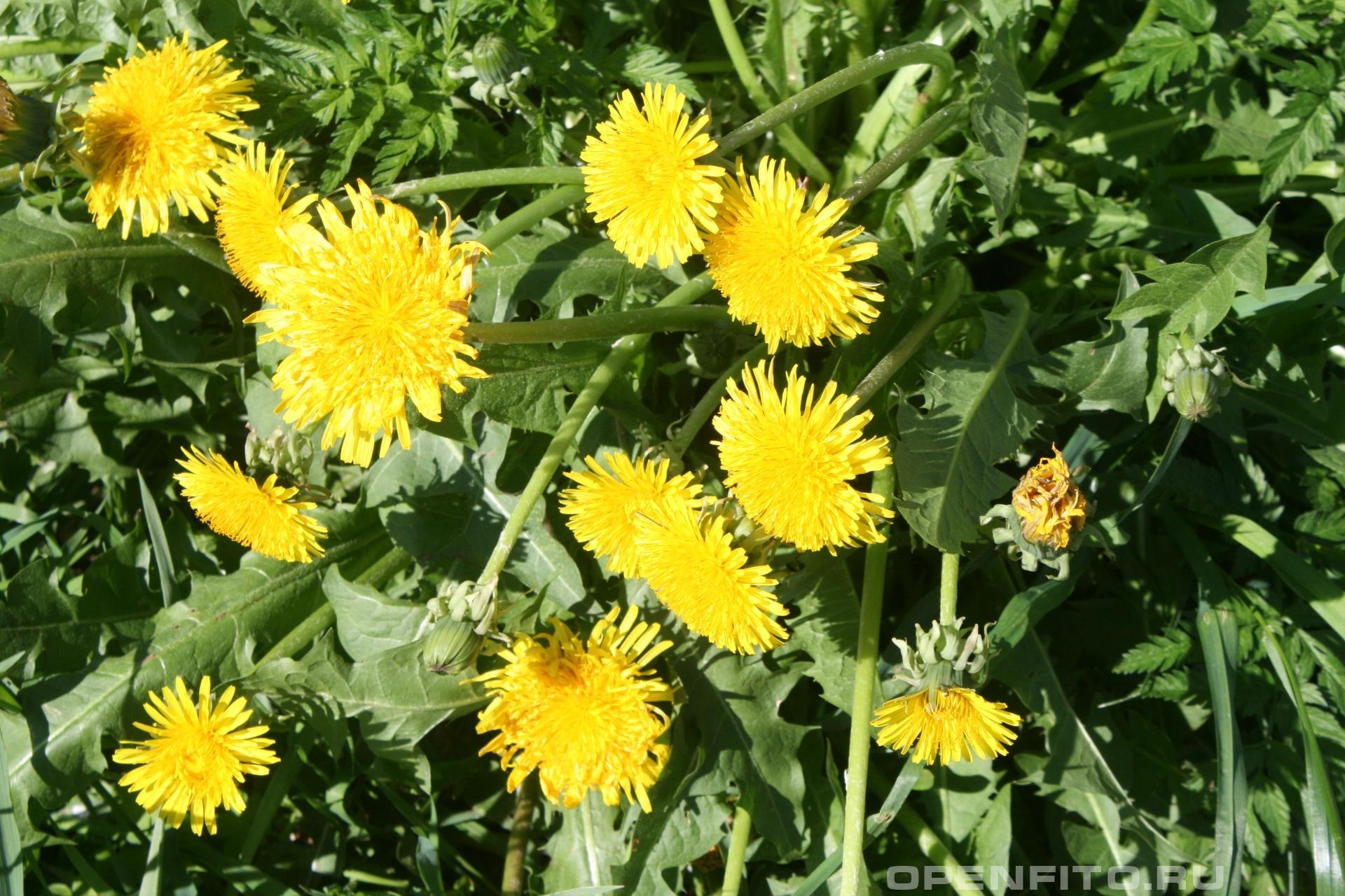 Одуванчик во время цветения