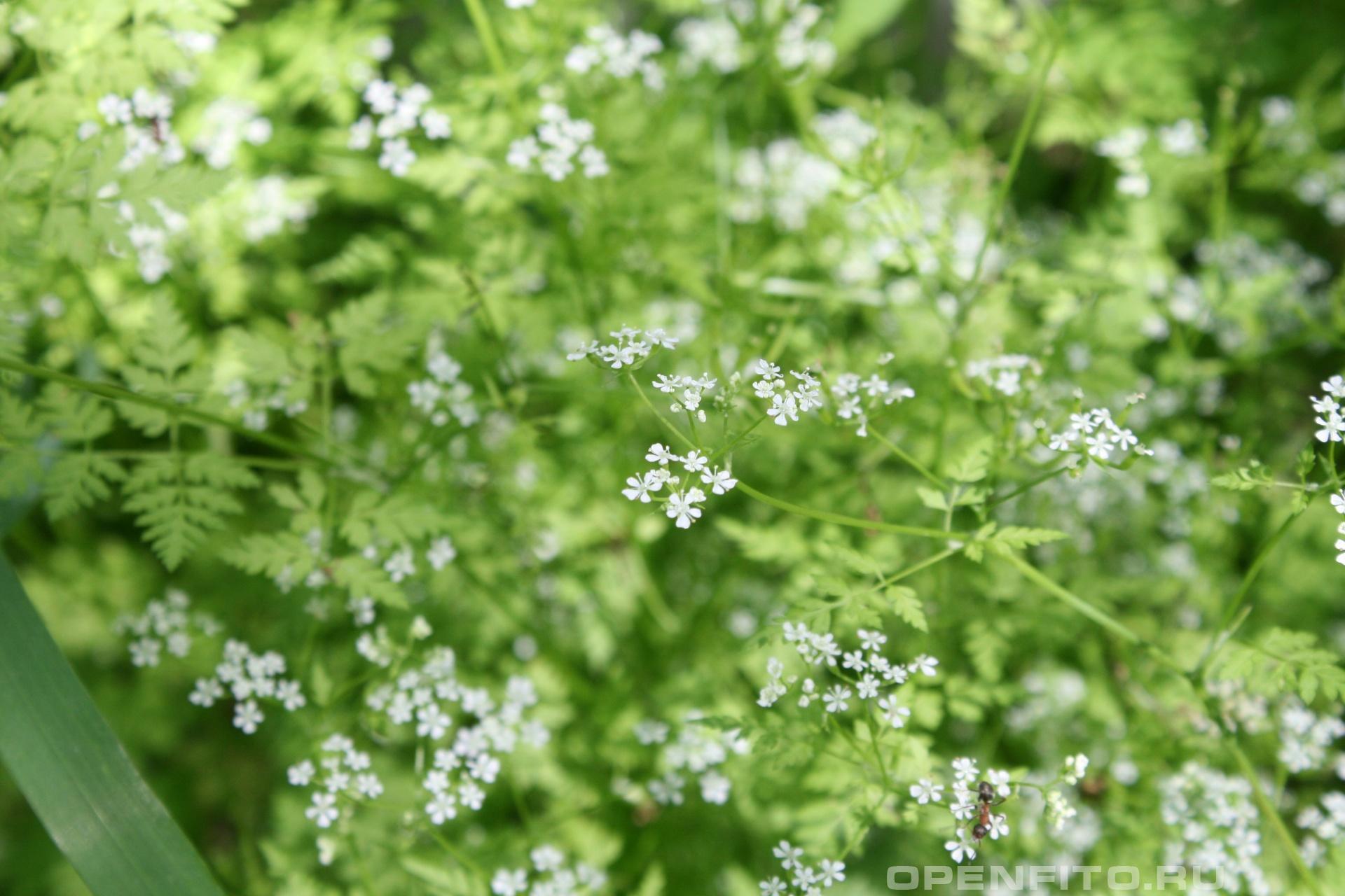 Анис Ароматное растение