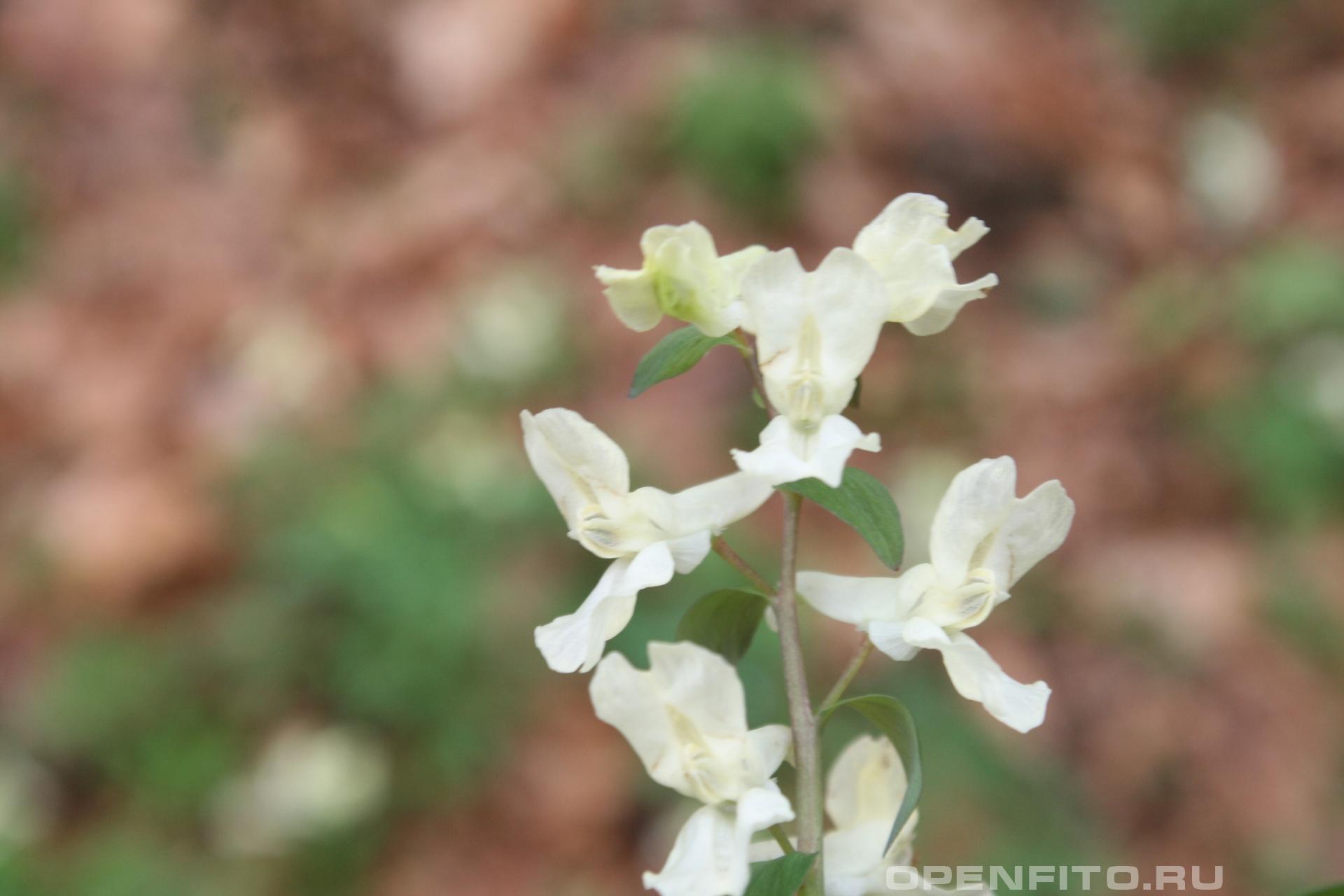 Хохлатка Маршалла весеннее растение