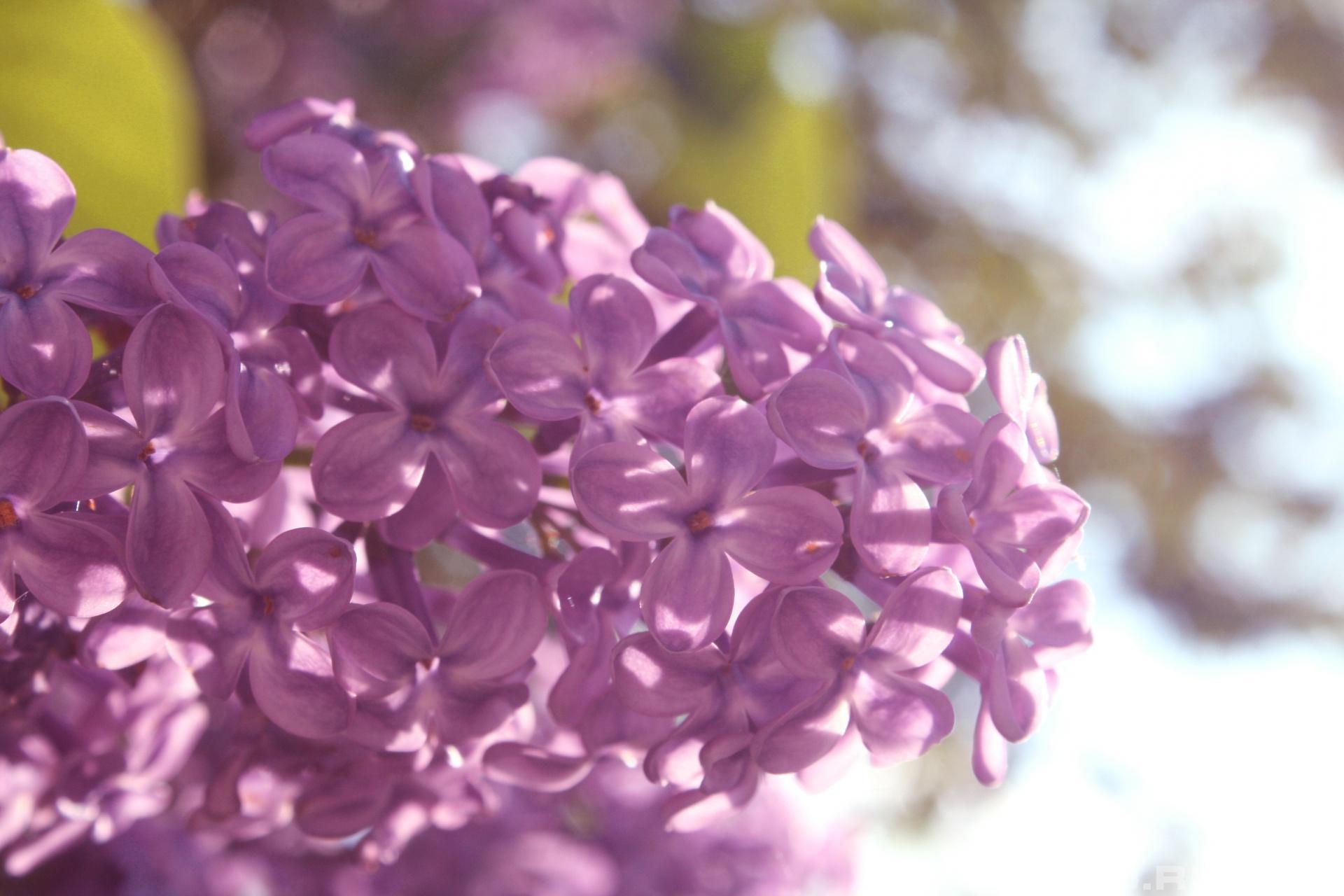 Сирень майские цветки
