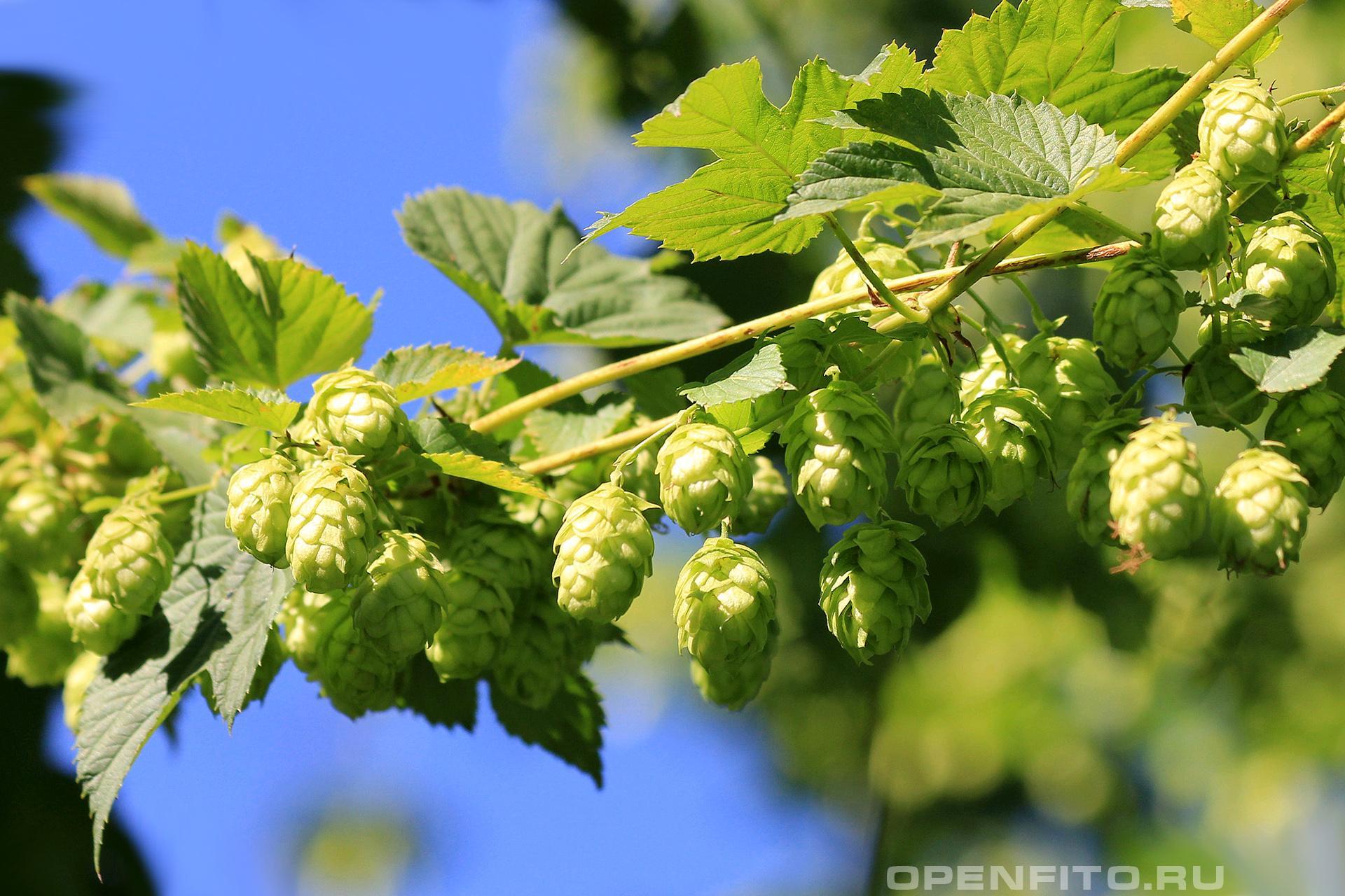 Хмель обыкновенный <p>зеленые соплодияхмеля</p>