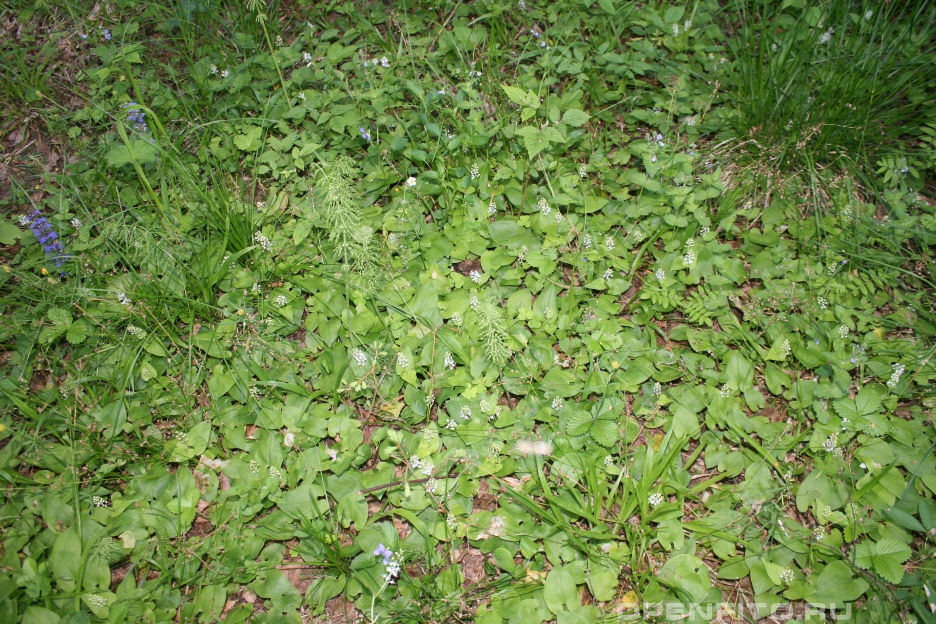Майник двулистный небольшое ароматное растение
