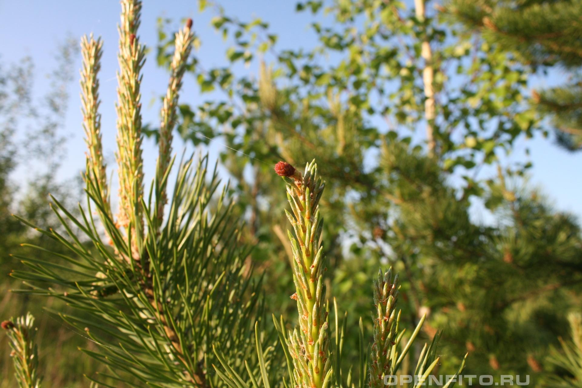 Сосна цветок сосны обыкновенной