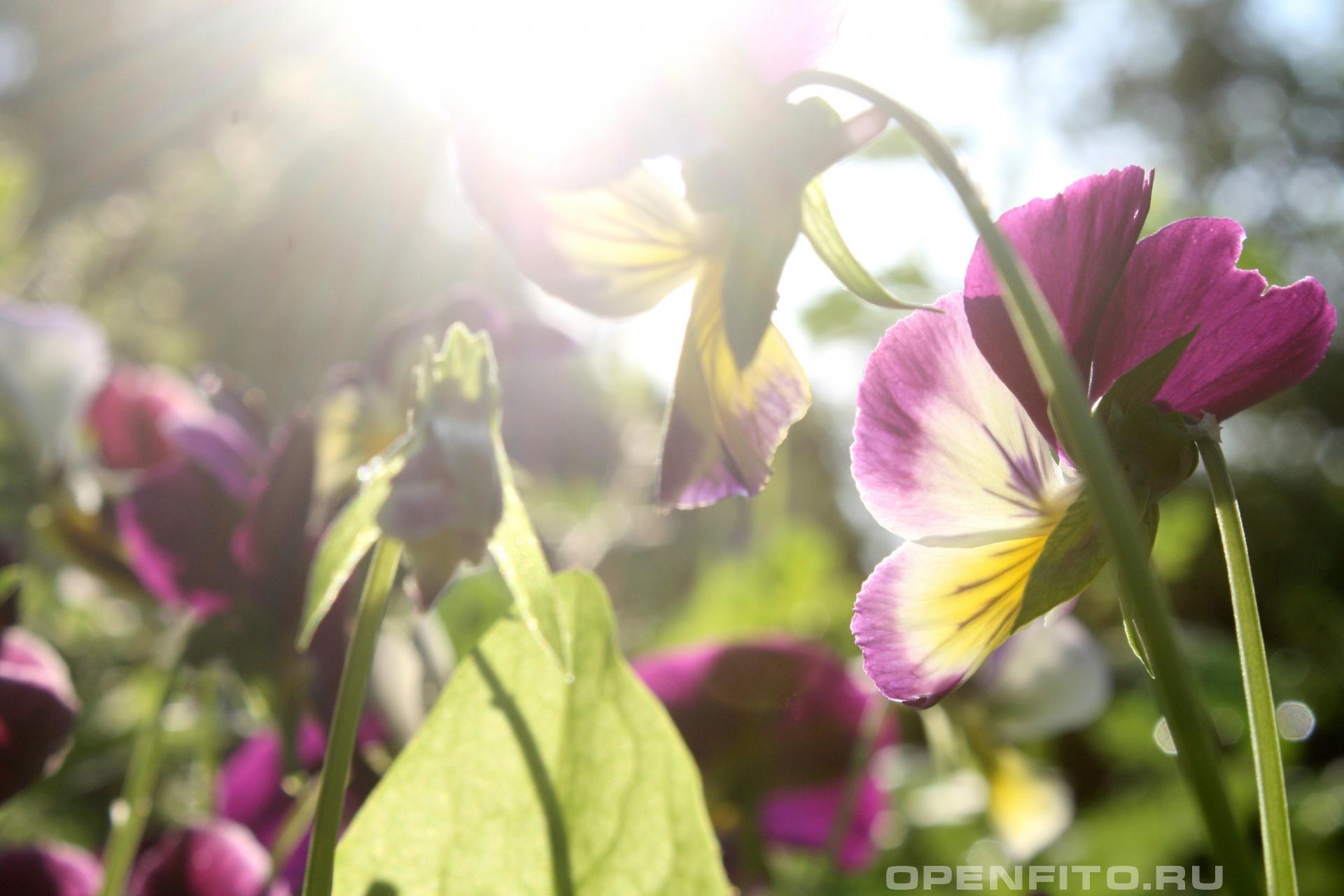 Анютины глазки на солнце