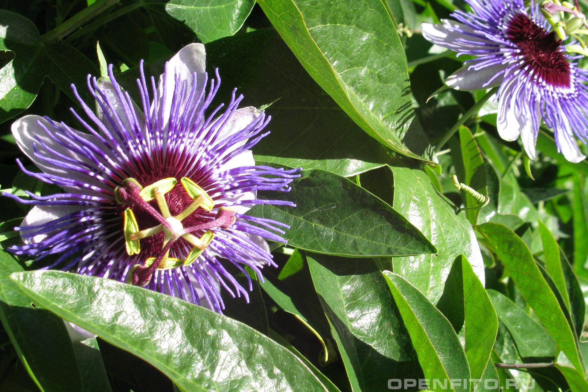 Страстоцвет <p>Пассифлора - листья и цветки</p>