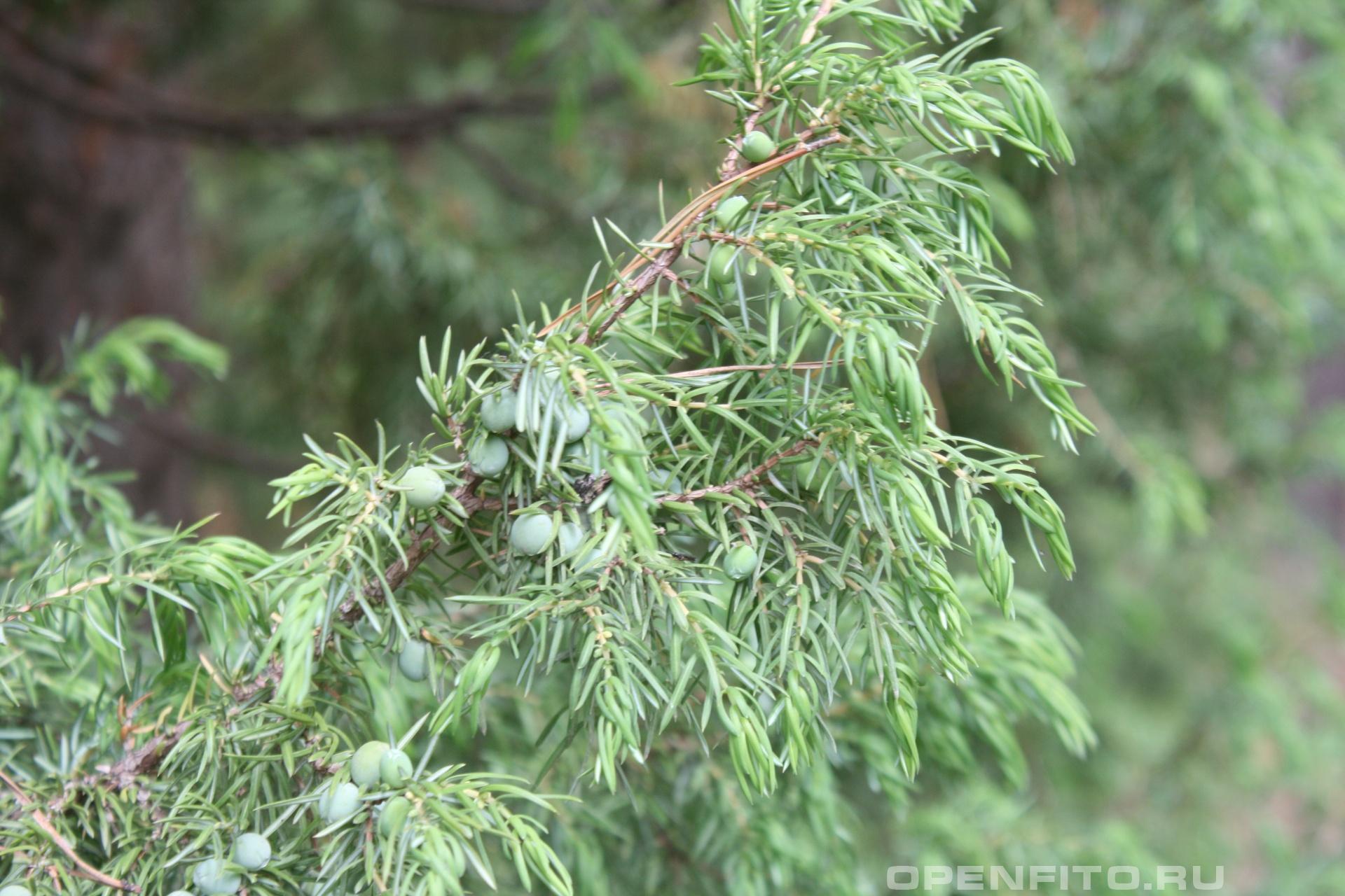 Можжевельник незрелые плоды можжевельника обыкновенного