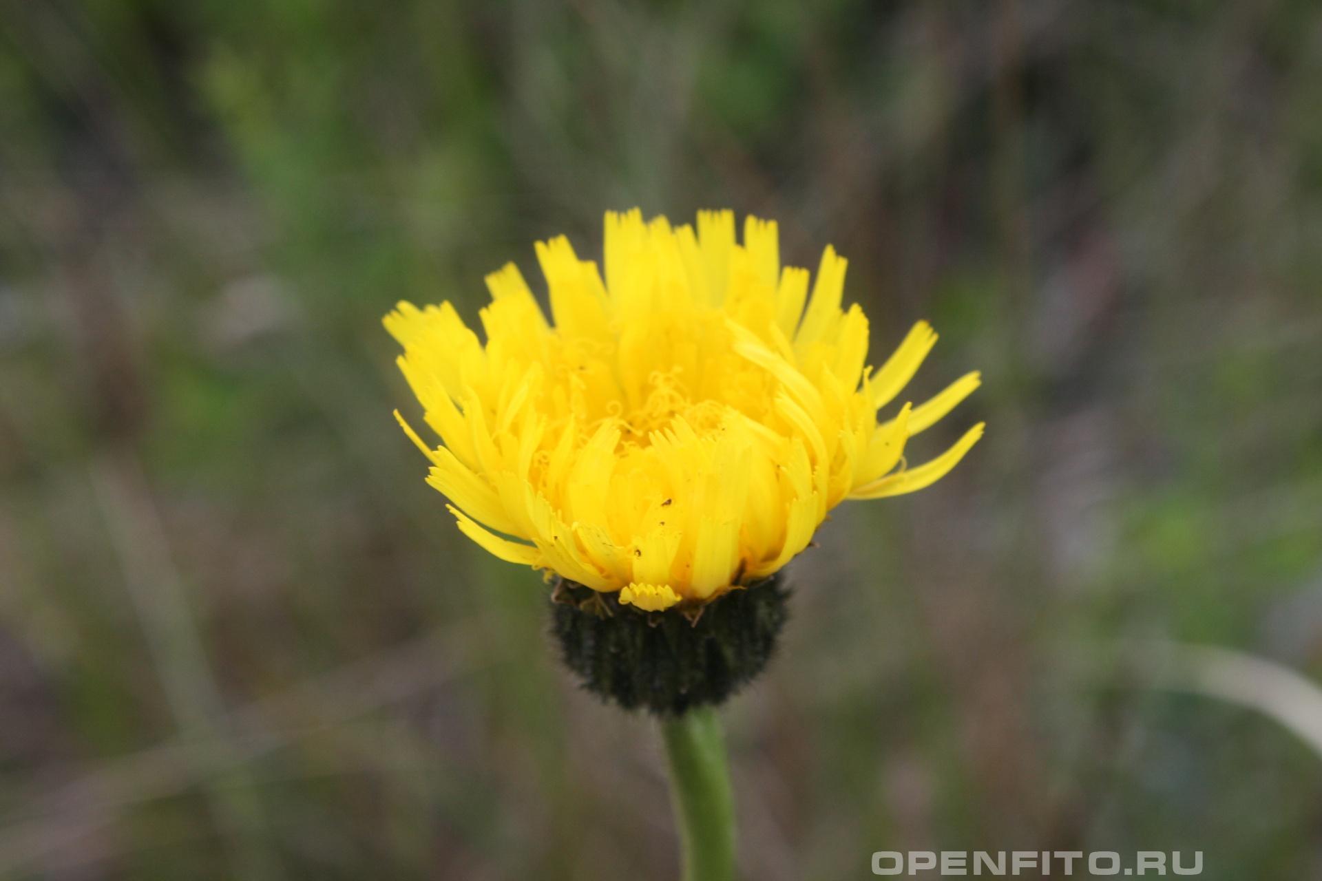 Пазник крупные цветки пазника крапчатого