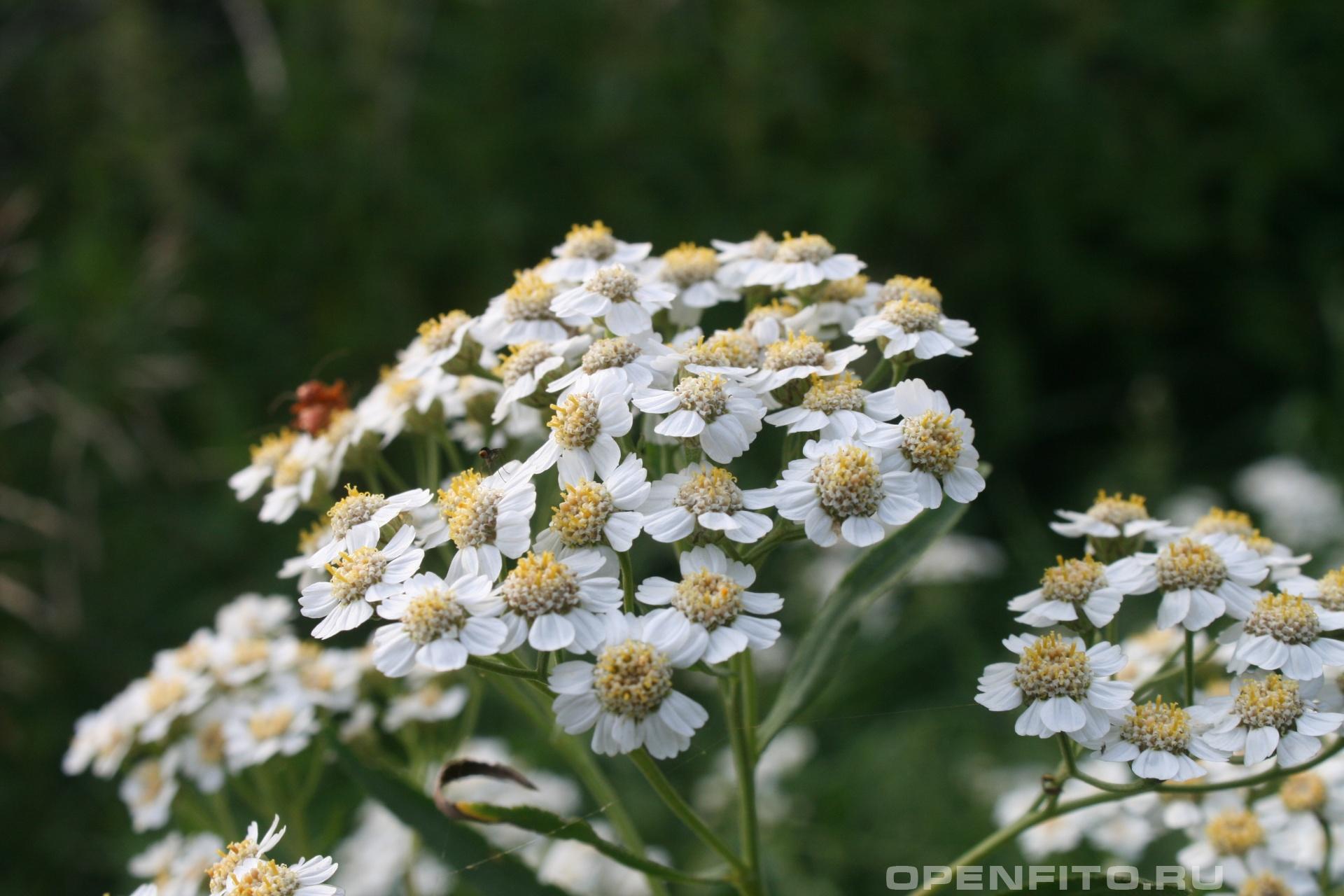 Чихотник <p>цветки одинаковы у всех видов чихотной травы</p>