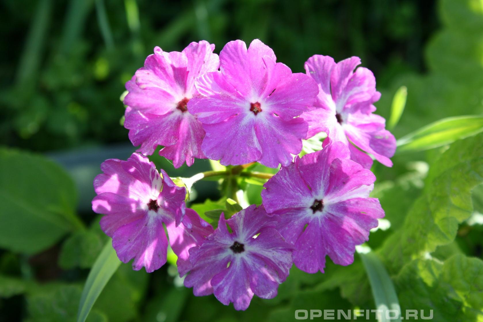 Примула Садовое декоративное растение