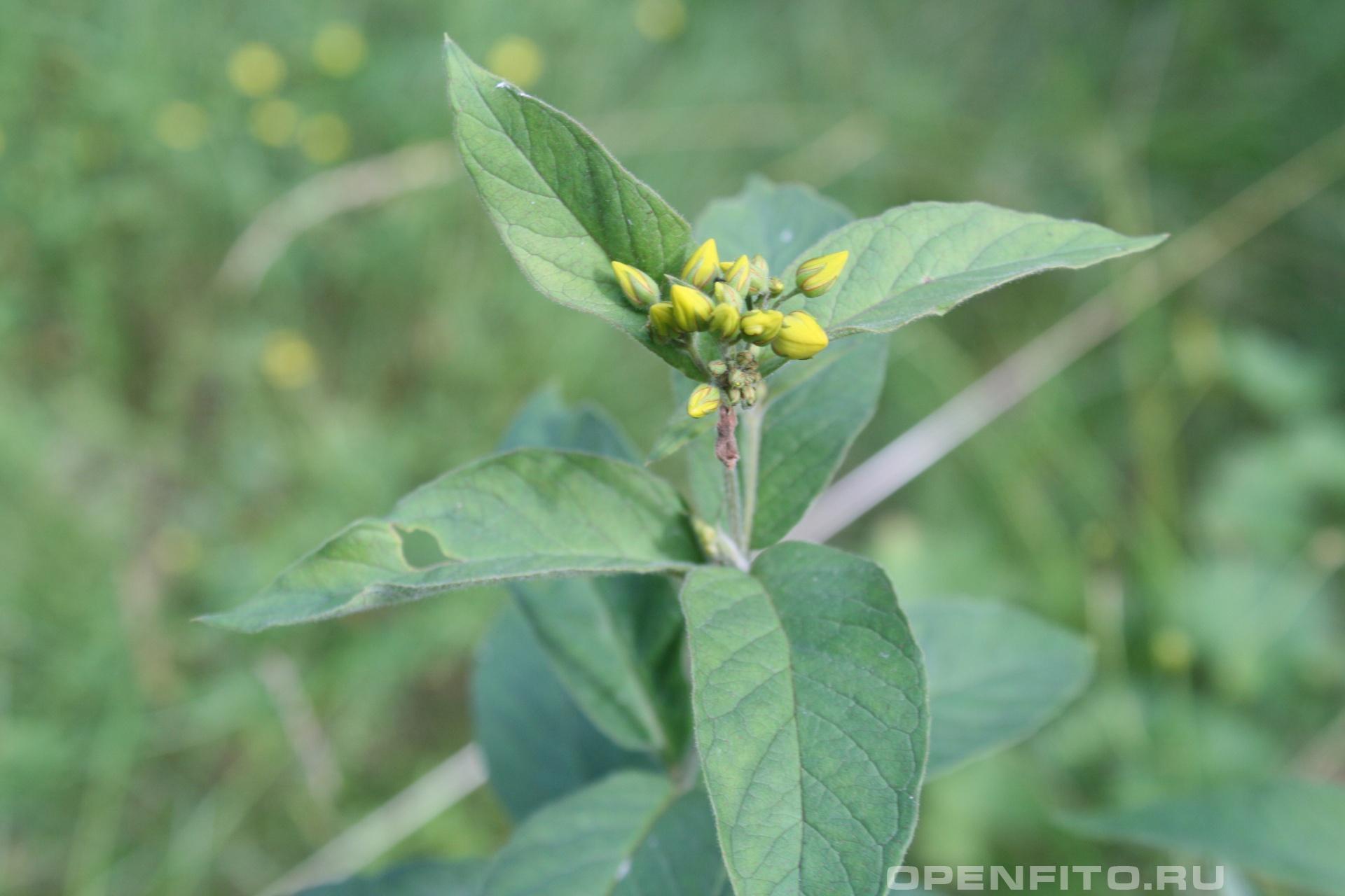 Вербейник обыкновенный <p>бутоны и лист растения</p>