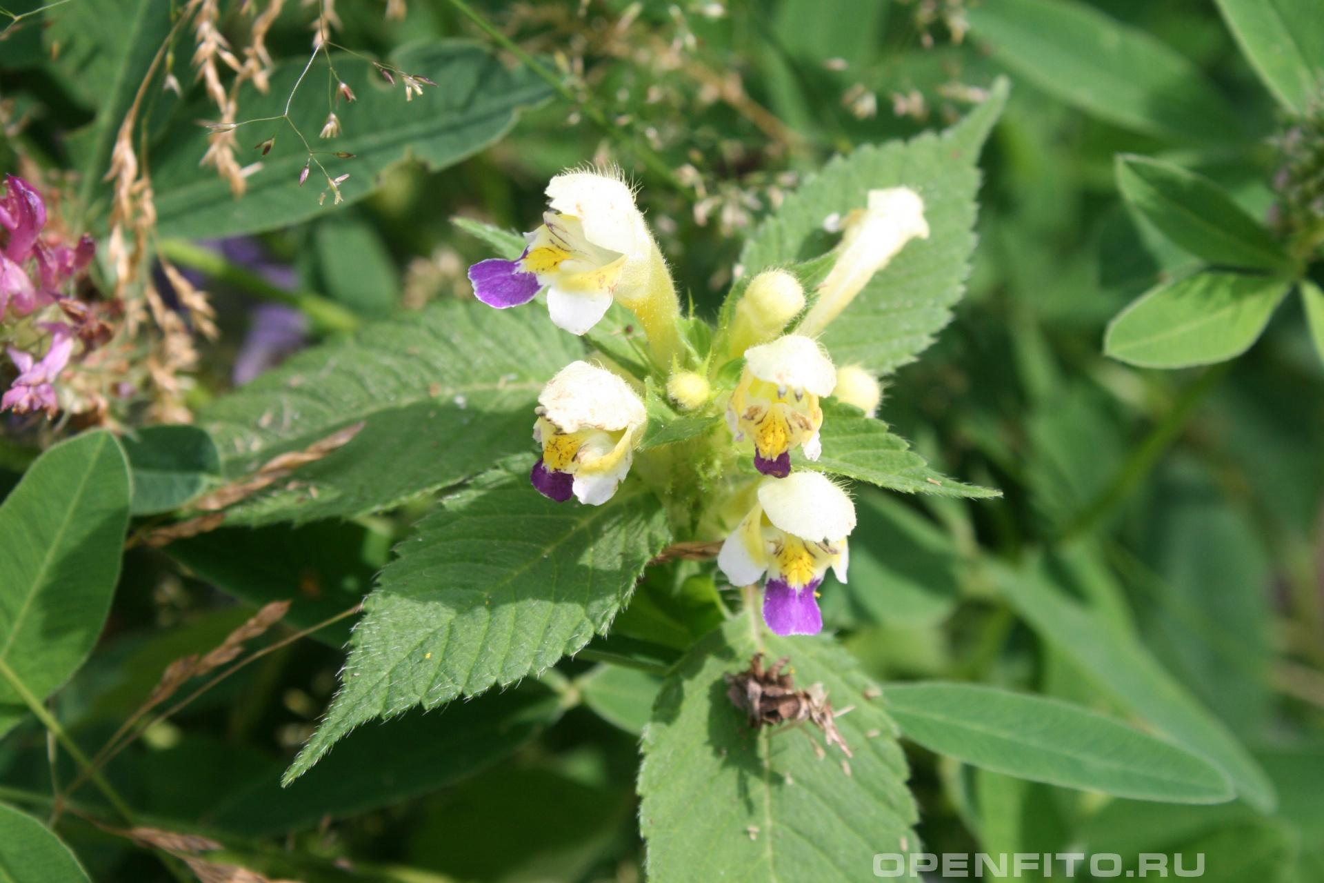 Пикульник красивый <p>лекарственное растение</p>