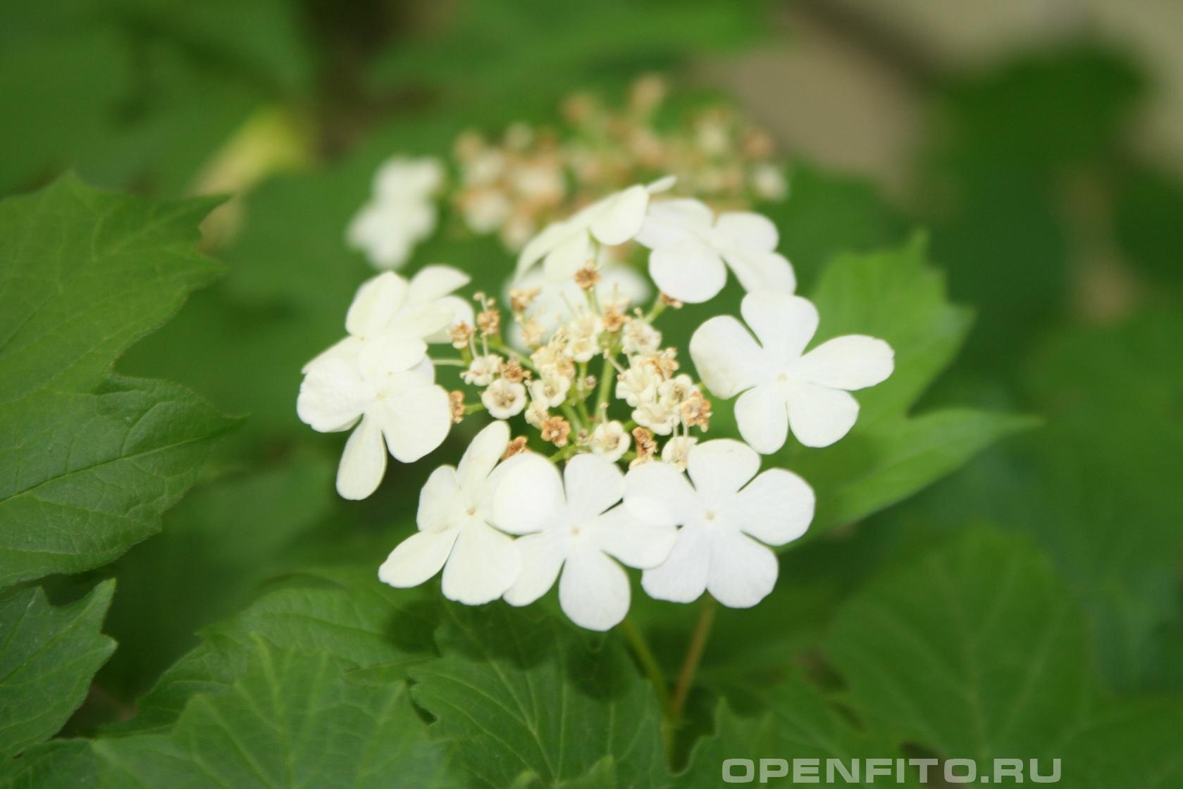 Калина Фото цветов Калины