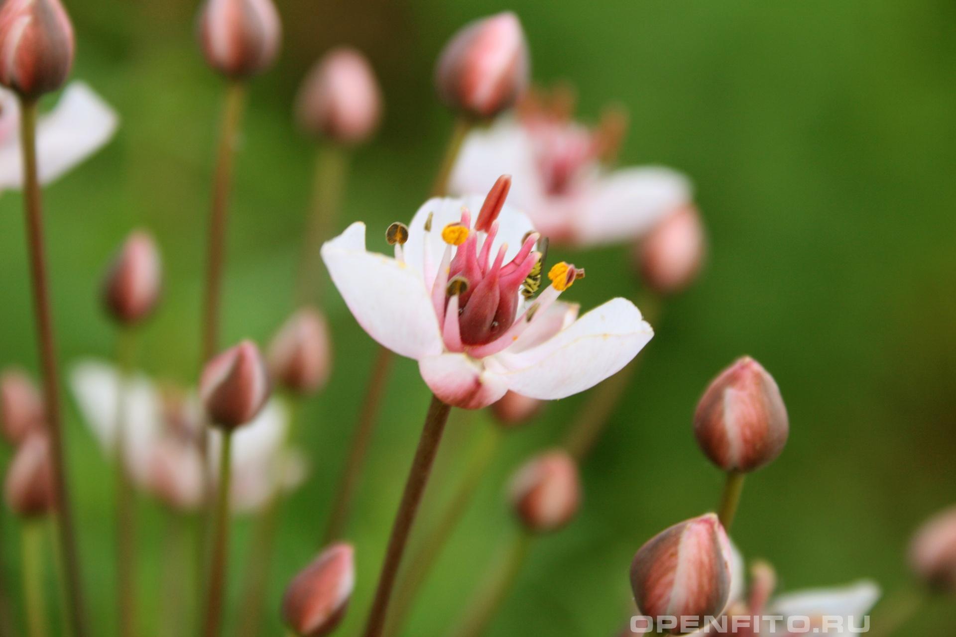 Сусак зонтичный речное растение