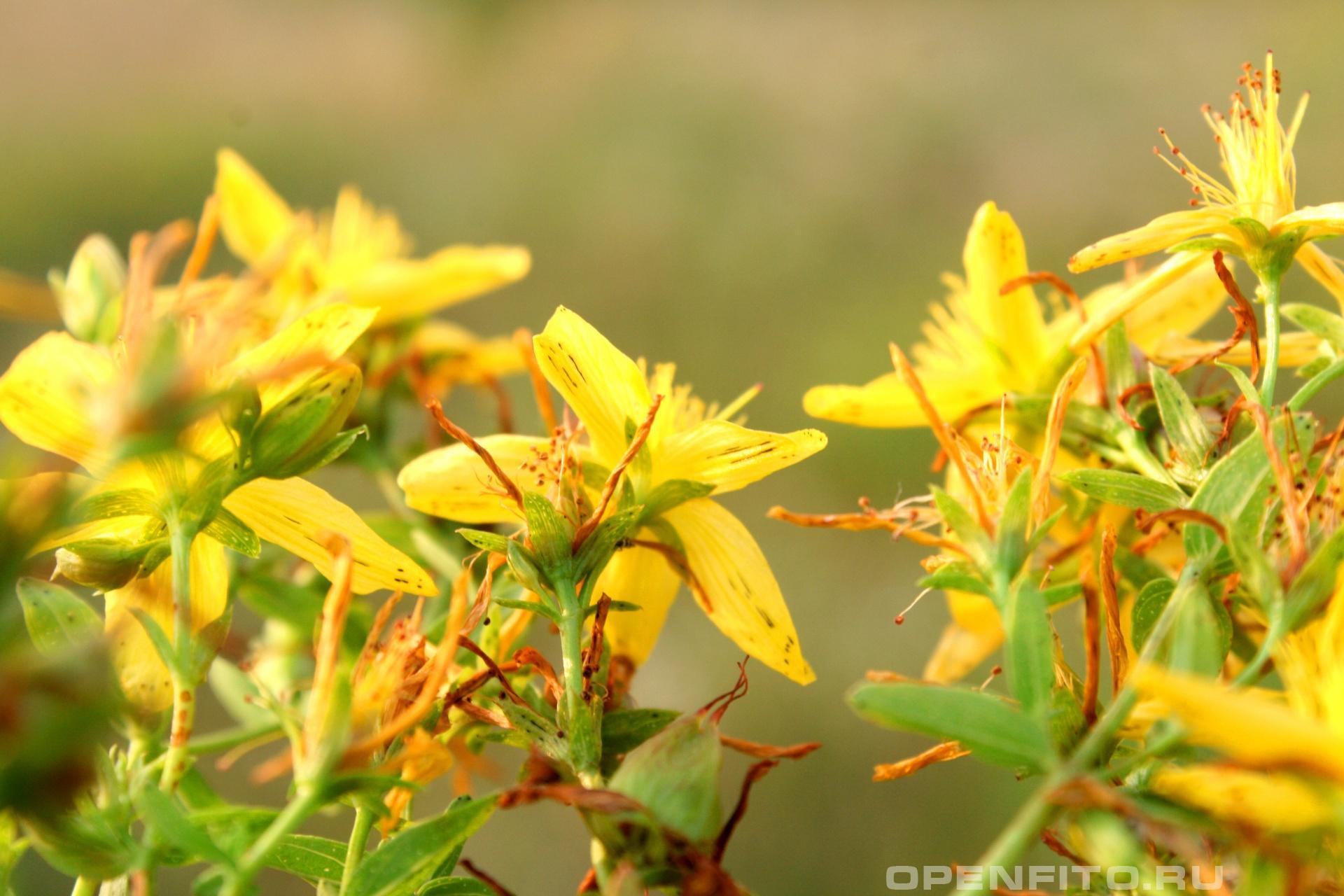 Зверобой продырявленный околоцветник