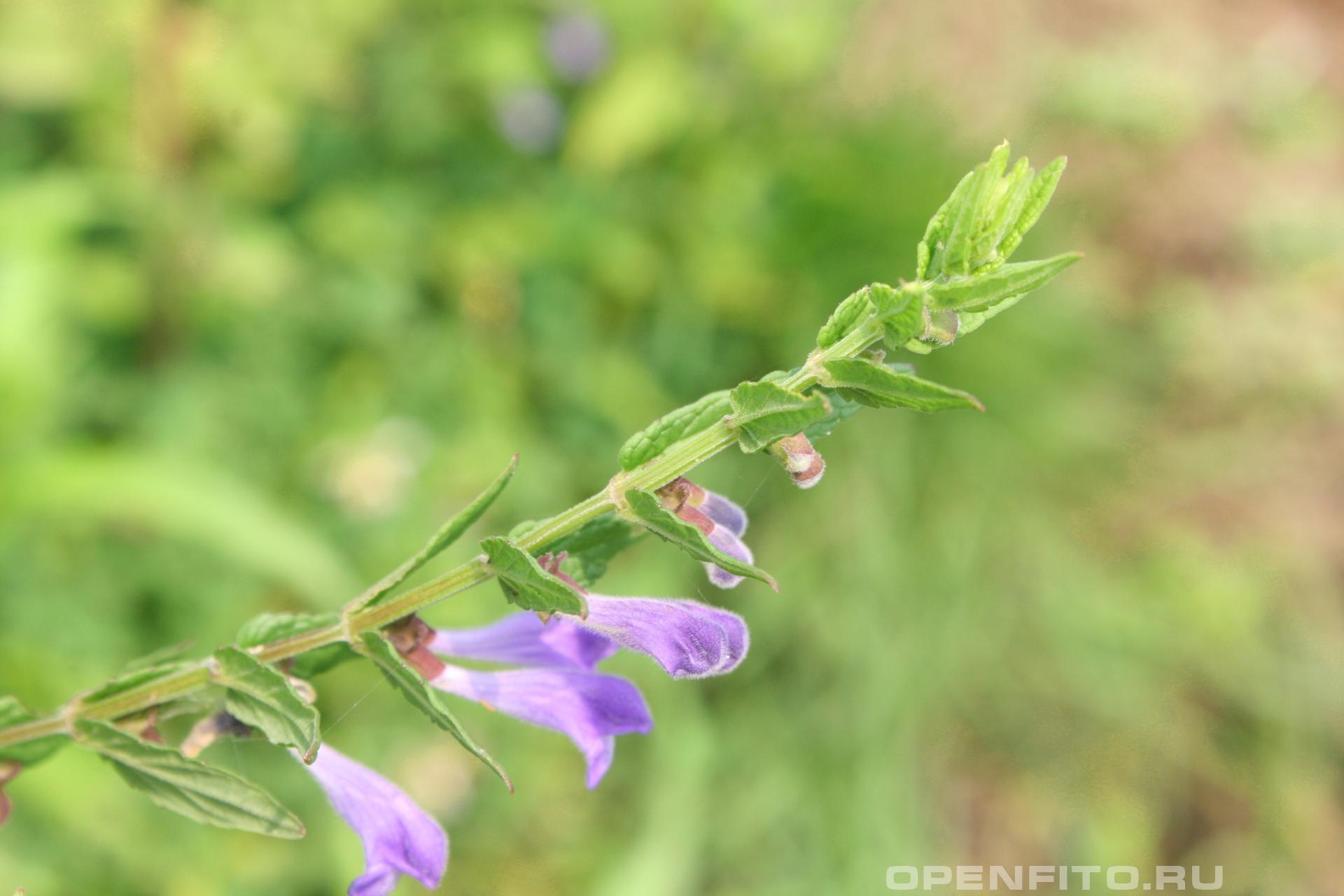 Шлемник обыкновенный <p>Лекарственное растение растущее на берегах рек</p>